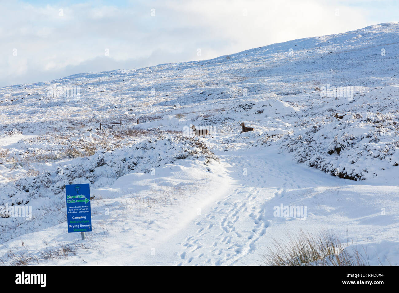 Cold winter day with deer running through snow at Rannoch Moor, Glencoe, Scottish Highlands, Scotland, UK in January - Stock Image