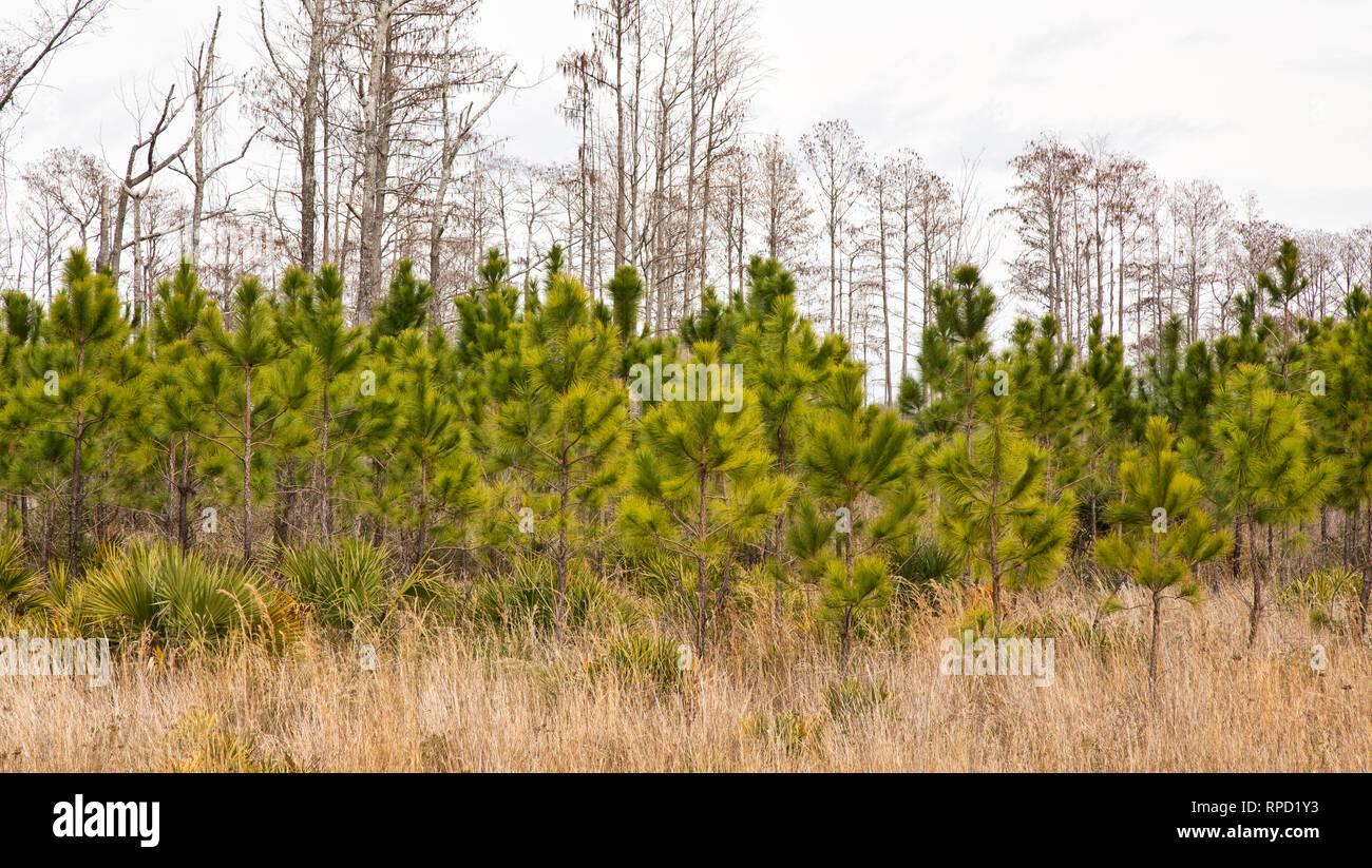 Southern Long Leaf Pine plantation, Pinus palustris'. - Stock Image