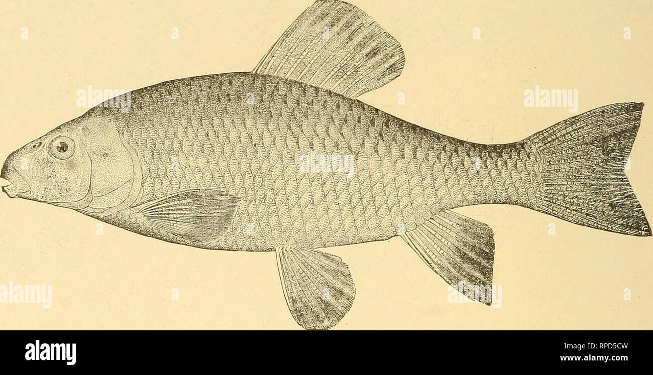 """. American fishes; a popular treatise upon the game and food fishes of North America, with especial reference to habits and methods of capture. Fishes. 43^ AMERICAN FISHES. I have never found this fish in really muddy water. Although called the ''Mud Sucker"""" in the brooks, it is most characteristically a fish of the running streams. This species reaches a length of about two feet, and is often caught in its spawning season by means of a spear or snare. It is,. like C. cornmersoni, a ''boy's fish,"""" and not worth the eating. It is hardy in the aquarium, and like its handsome cousin, Ca - Stock Image"""