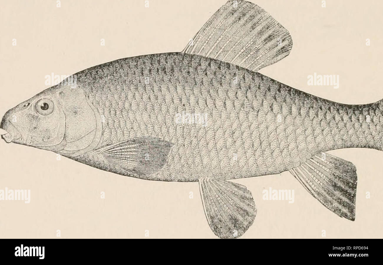 """. American fishes : a popular treatise upon the game and food fishes of North America with especial reference to habits and methods of capture. Fishes -- North America. 436 AMERICAN FISHES. I have never found this fish in really muddy water. Although called the """" Mud Sucker"""" in the brooks, it is most characteristically a fish of the running streams. This species reaches a length of about two feet, and is often caught in its spawning season by means of a spear or snare. It is, like C. commersoni, a """" boy's fish,"""" and not worth the eating. It is hardy in the aquarium, and lik - Stock Image"""