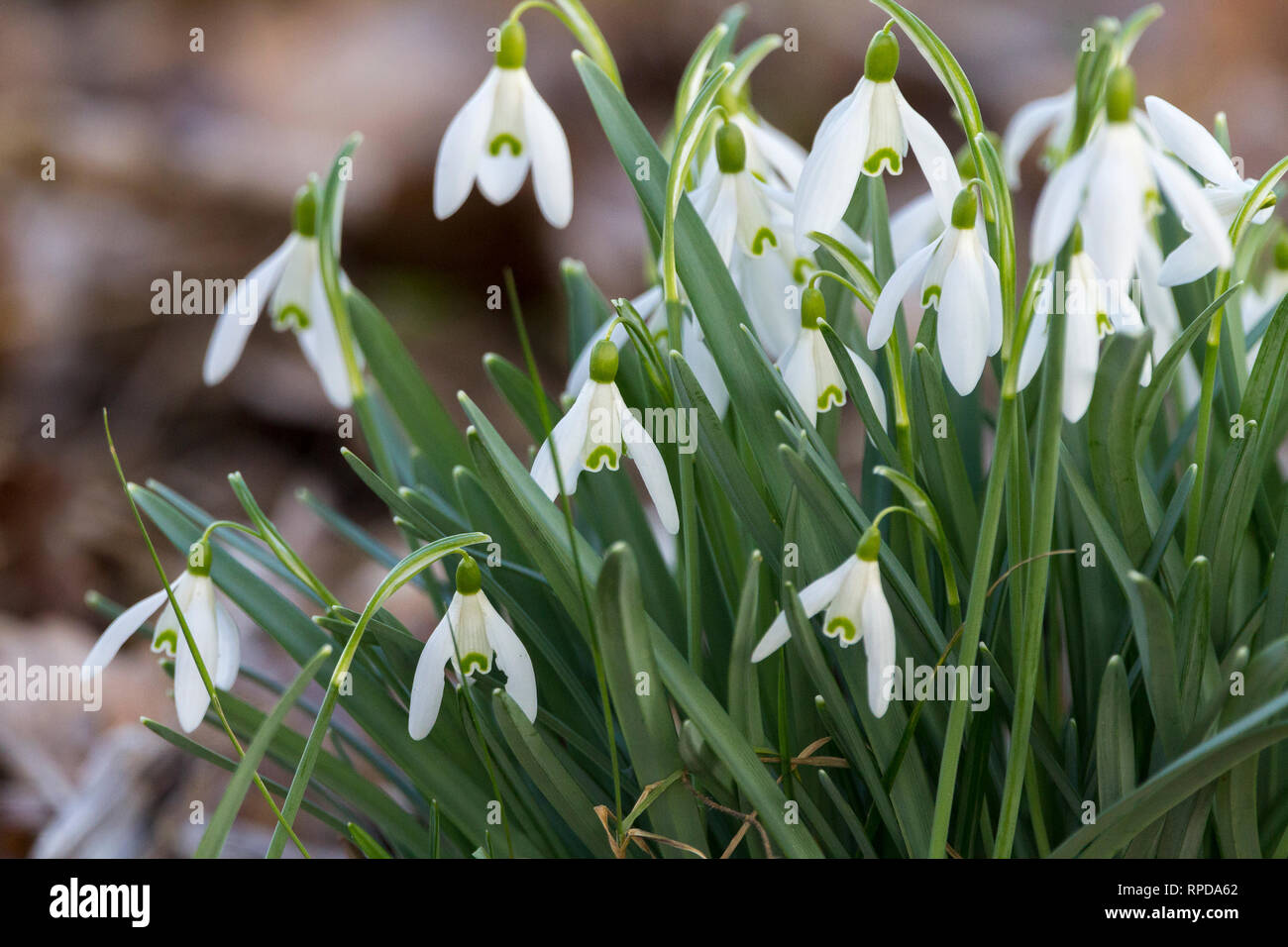 Snow drops early spring Febuary 2019 (Galanthus nivalis) three petal white flowers with single drooping blossom on each stem. Inner petals are notched - Stock Image