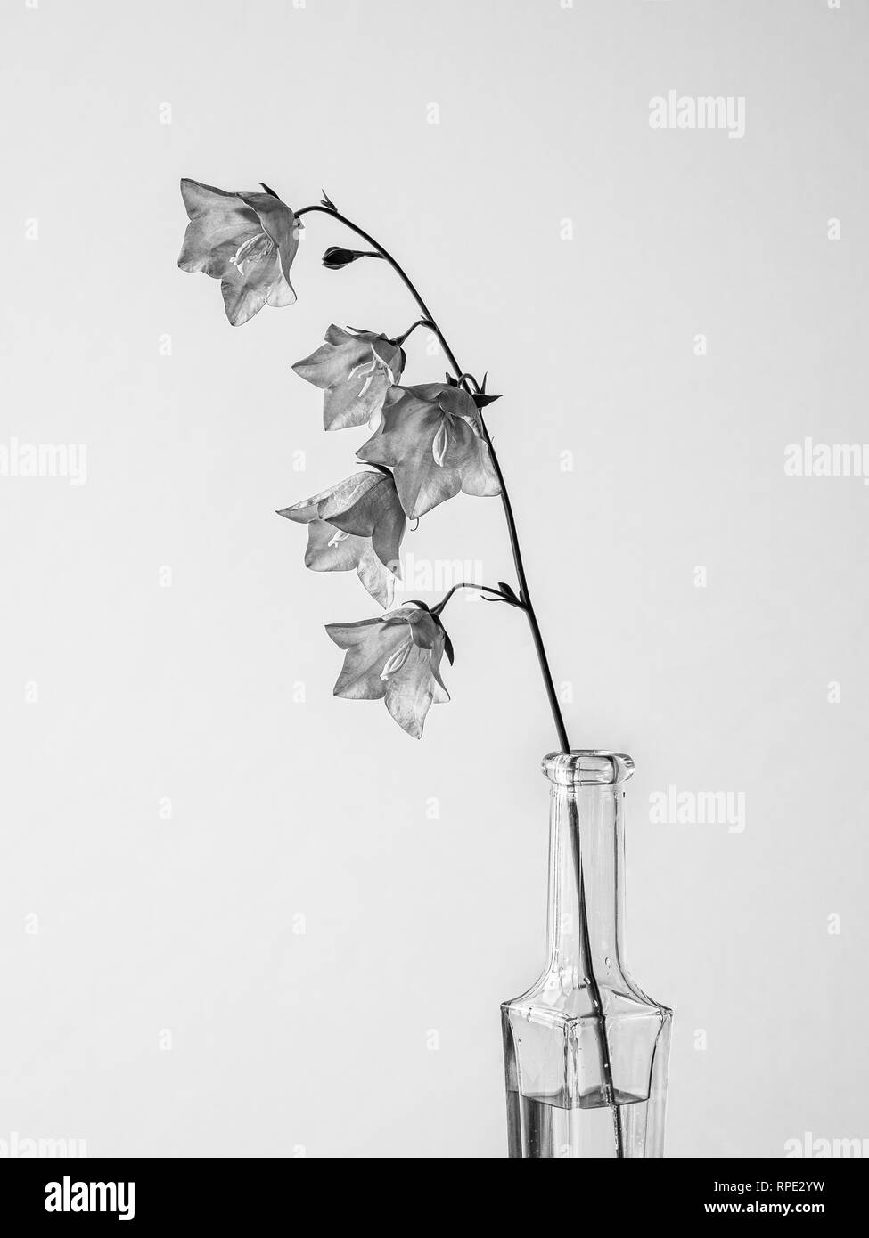 Campanula still life single flower in bottle - Stock Image