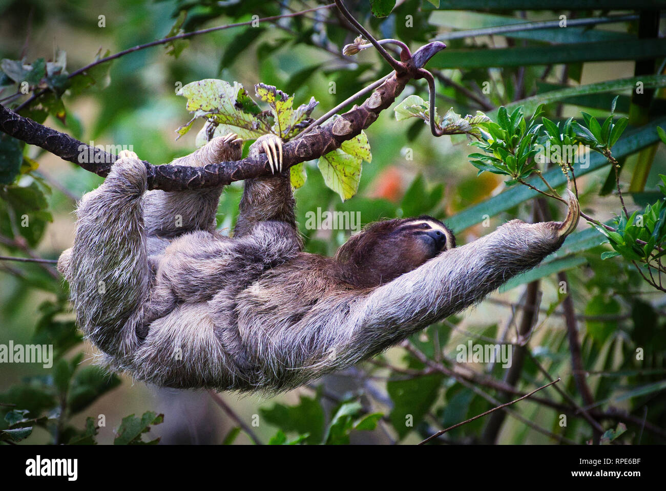 Three-toed sloth, a brown-throated sloth (Bradypus variegatus) with baby image taken in Panama Stock Photo