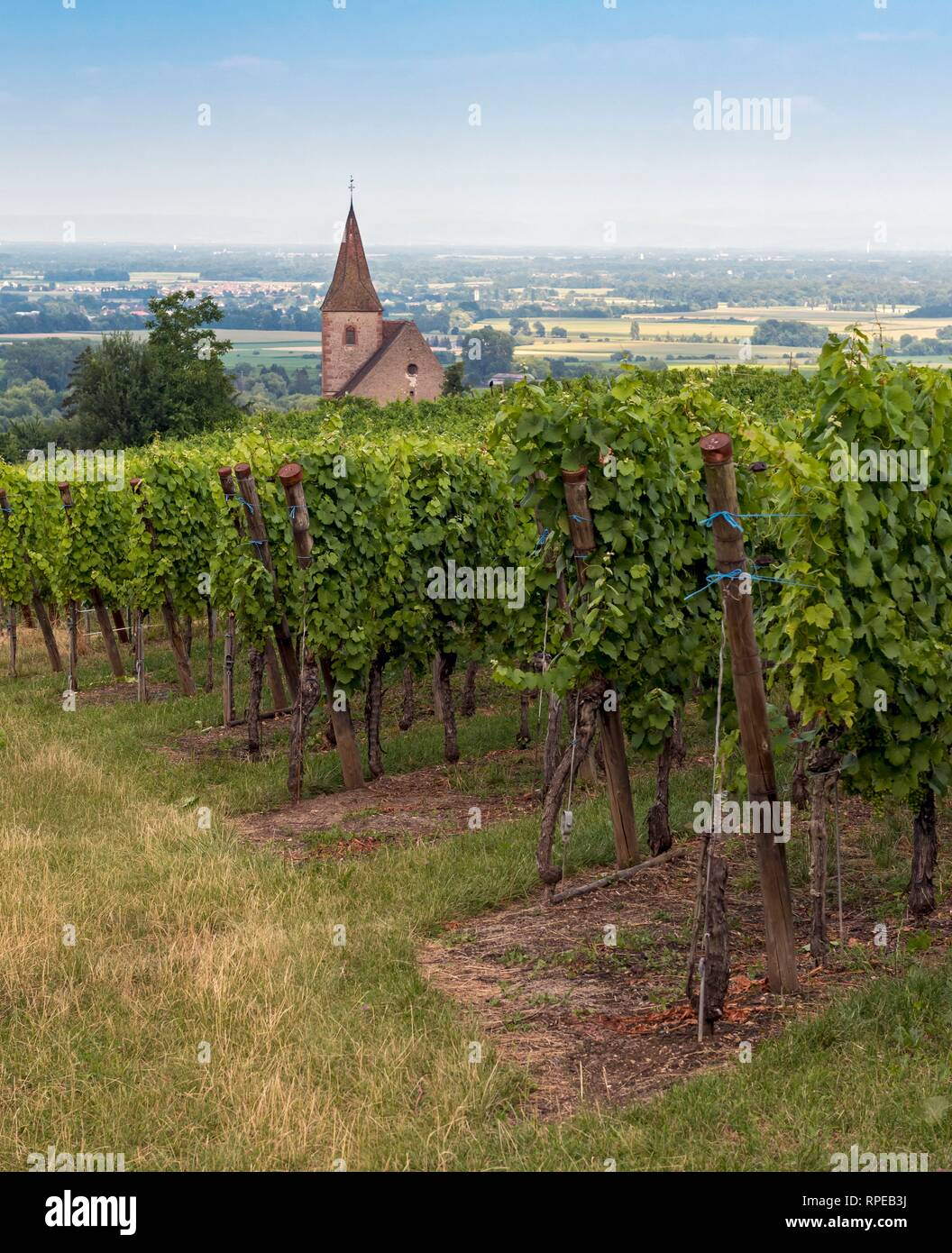 Vineyard  and Fortified Church in Hunawihr,  Alsace wine route, France - Stock Image