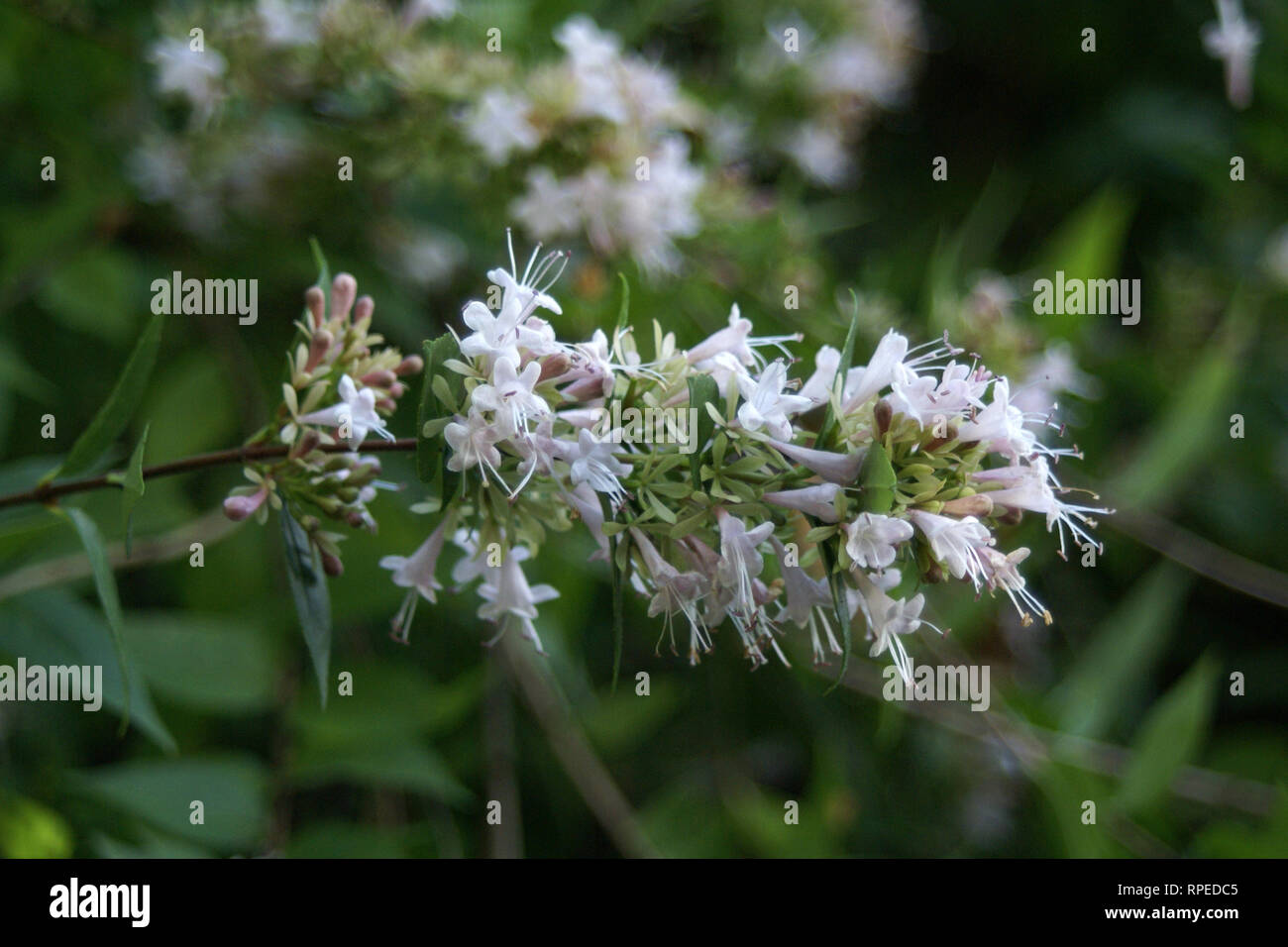 Abelia Chinensis Stock Photo 237575077 Alamy