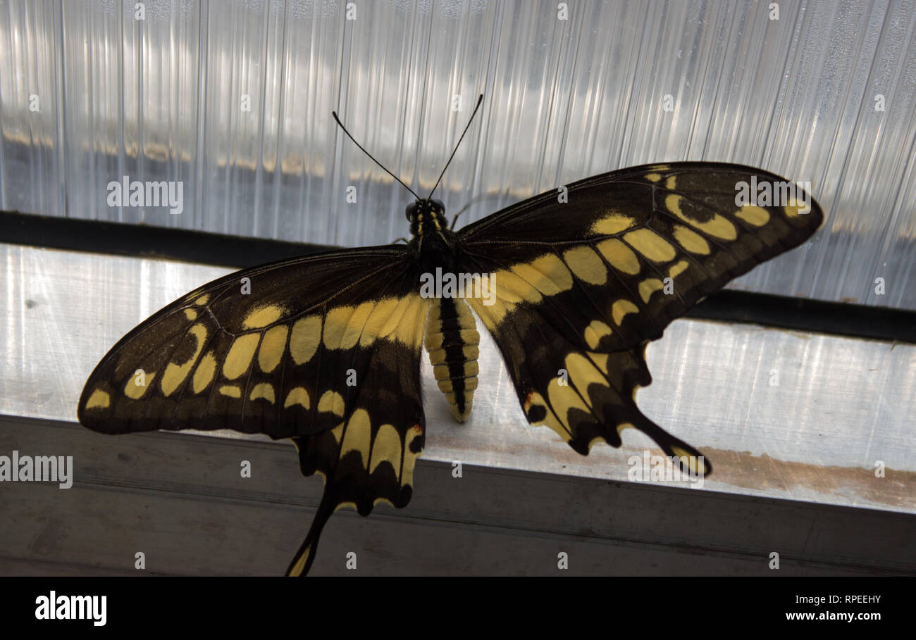 Papilio thoas the king swallowtail - butterfly of the family papilionidae on the window - Stock Image