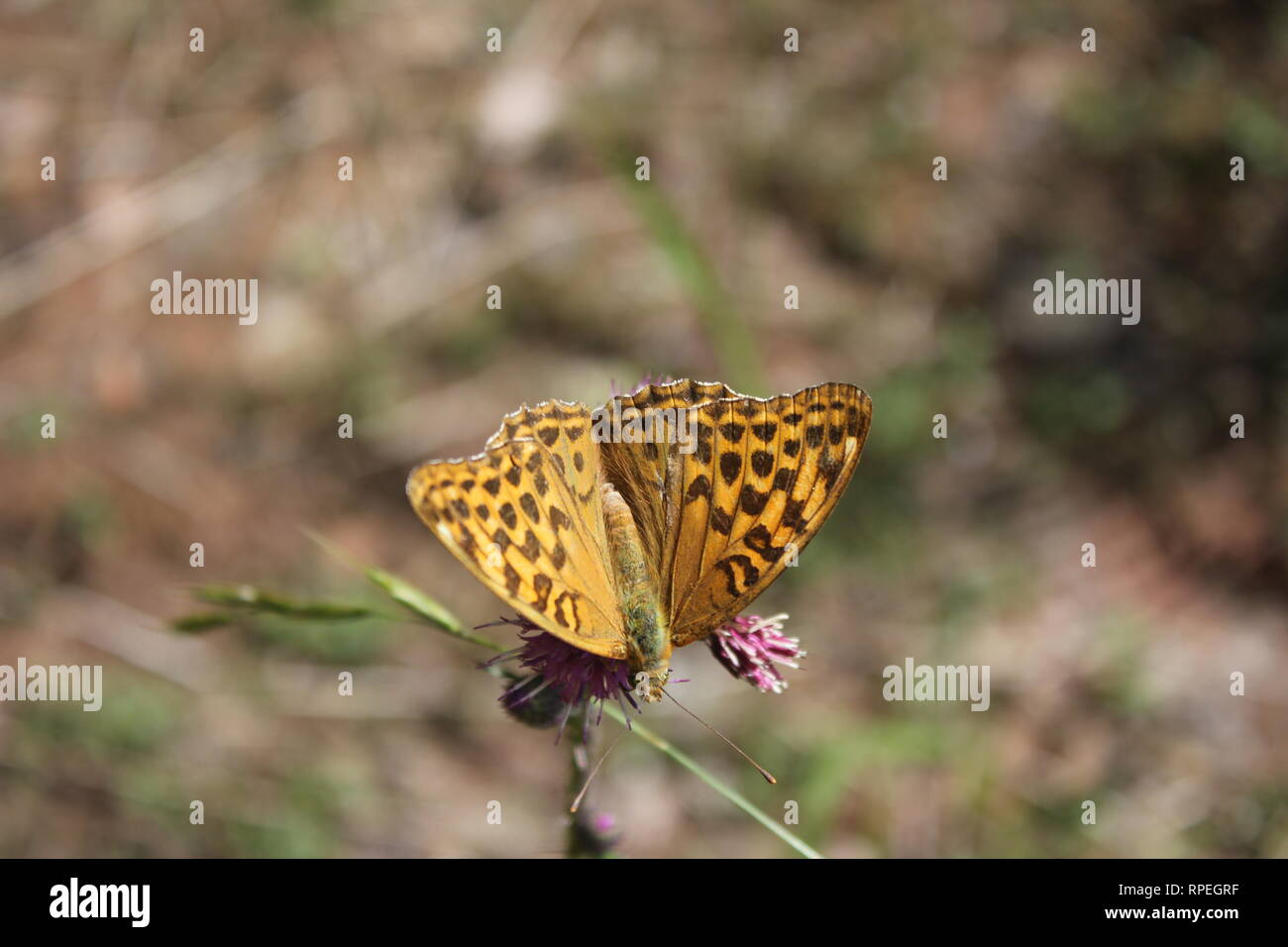 Silver-washed Fritillary (Argynnis paphia) Silberberg, Germany - Stock Image