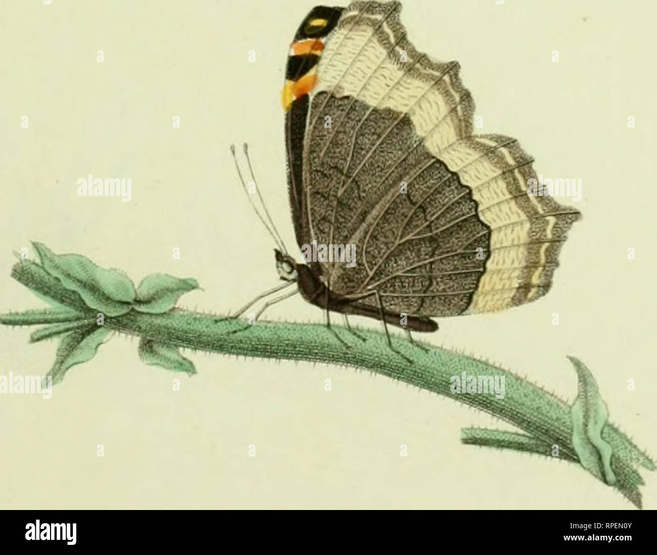 . American entomology : a description of the insects of North American, with illustrations drawn and colored after nature. Insects; Insects -- North America. la/it-.'ja lur.iiUi Drnwit f'v K.W.Worii '27 Einrrayt-,/ ^y CTi(/•>'!it. Please note that these images are extracted from scanned page images that may have been digitally enhanced for readability - coloration and appearance of these illustrations may not perfectly resemble the original work.. Say, Thomas, 1787-1834. Boston : Estes & Lauriat - Stock Image