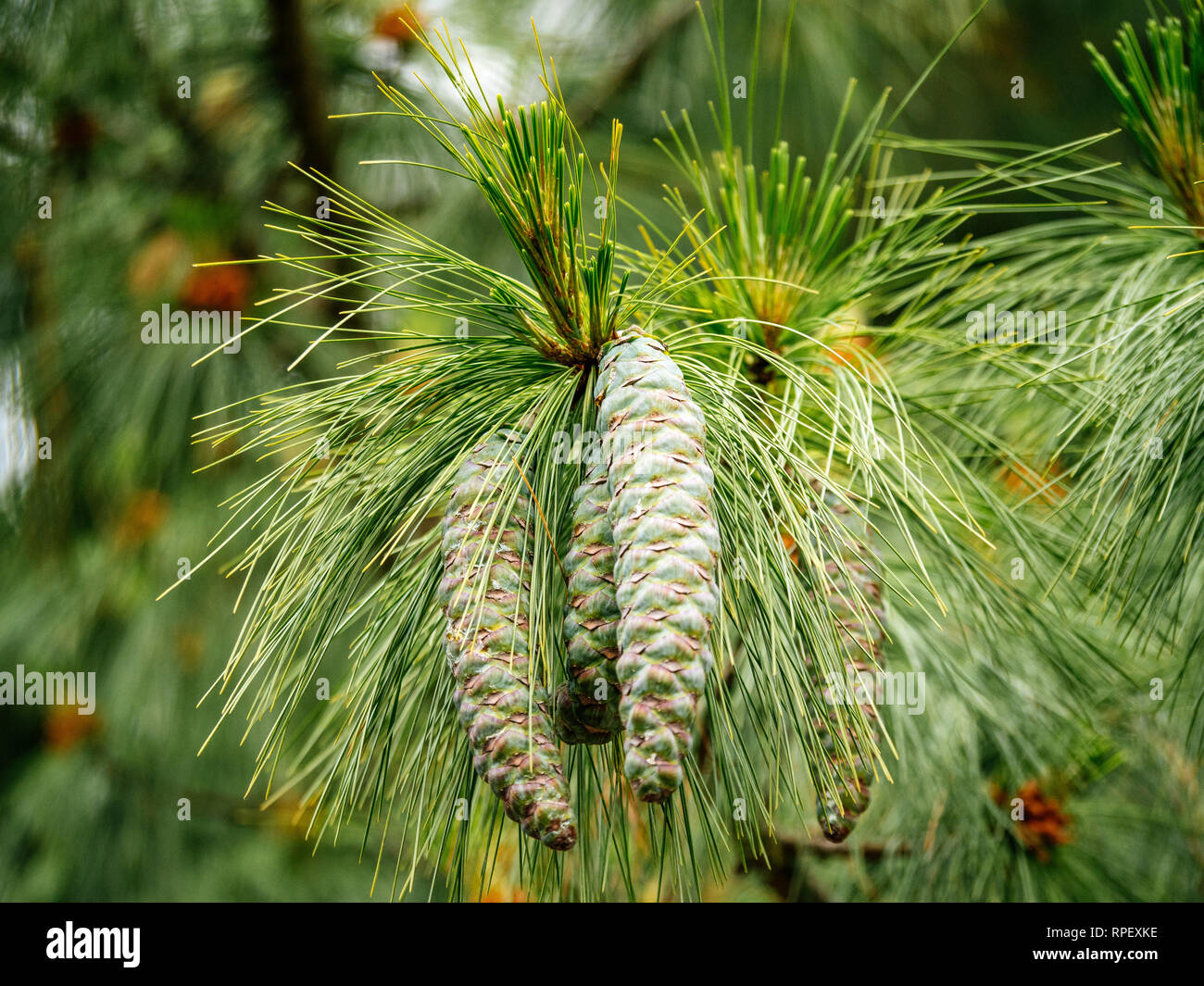 Two fresh healthy green pine tree cone - view from below - Stock Image