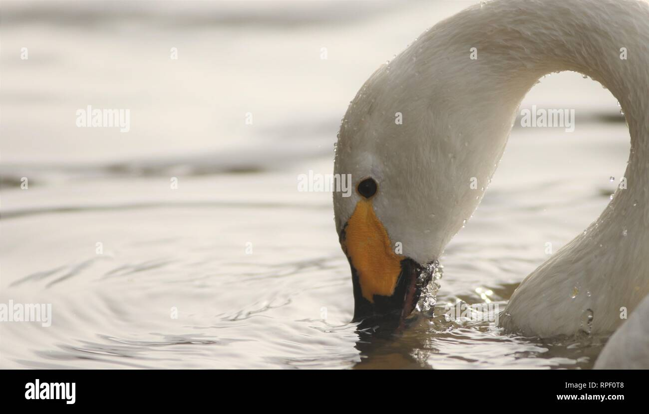 Bewicks swan (cygnus columbianus bewickii) feeding on a winter morning. February 2019, Gloucestershire, UK Stock Photo
