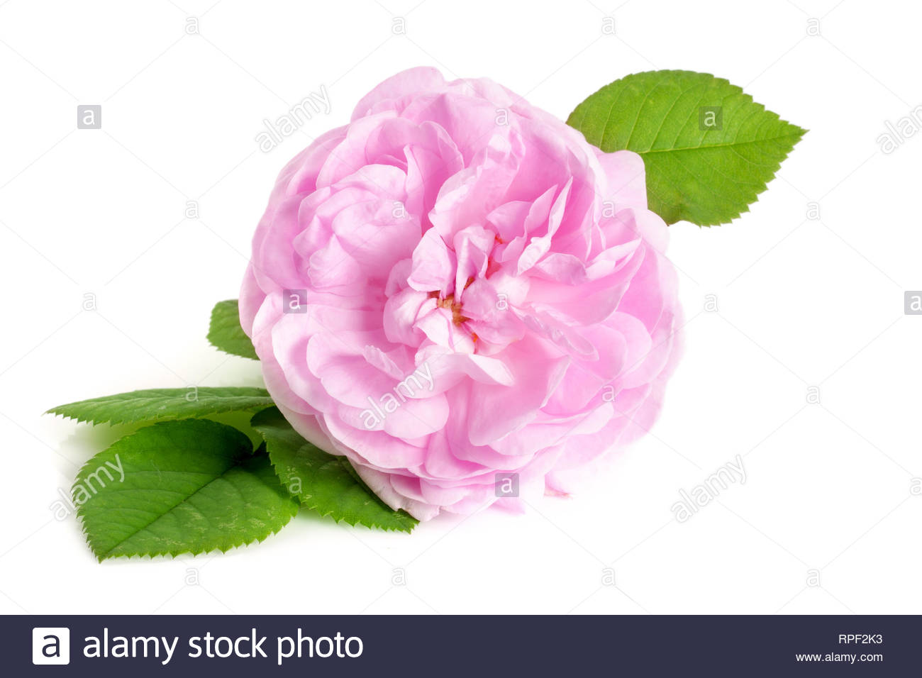 wild rose blooming flower isolated on a white background - Stock Image