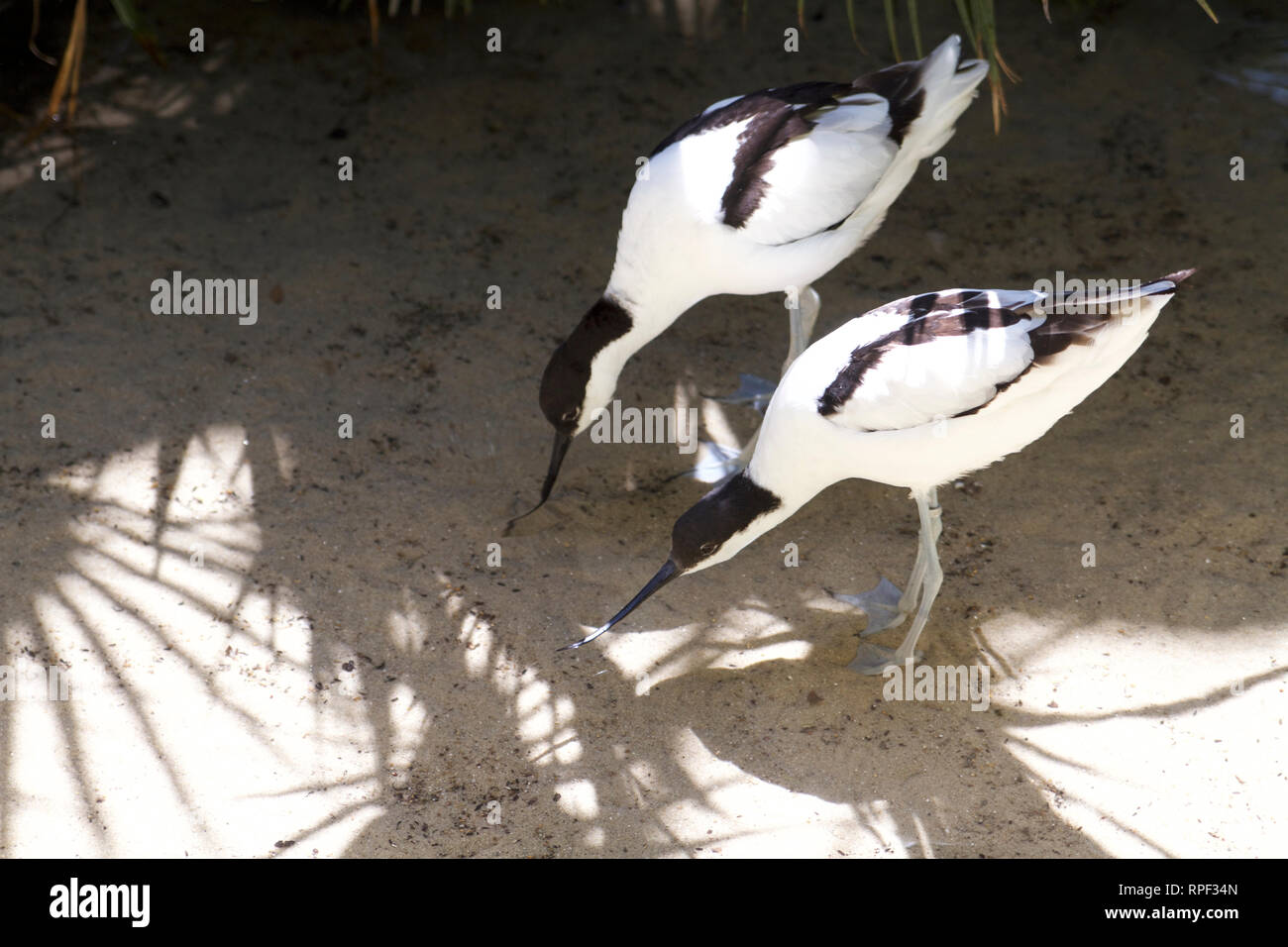 Roma-Pied avocet at BioParco Borghese - Stock Image