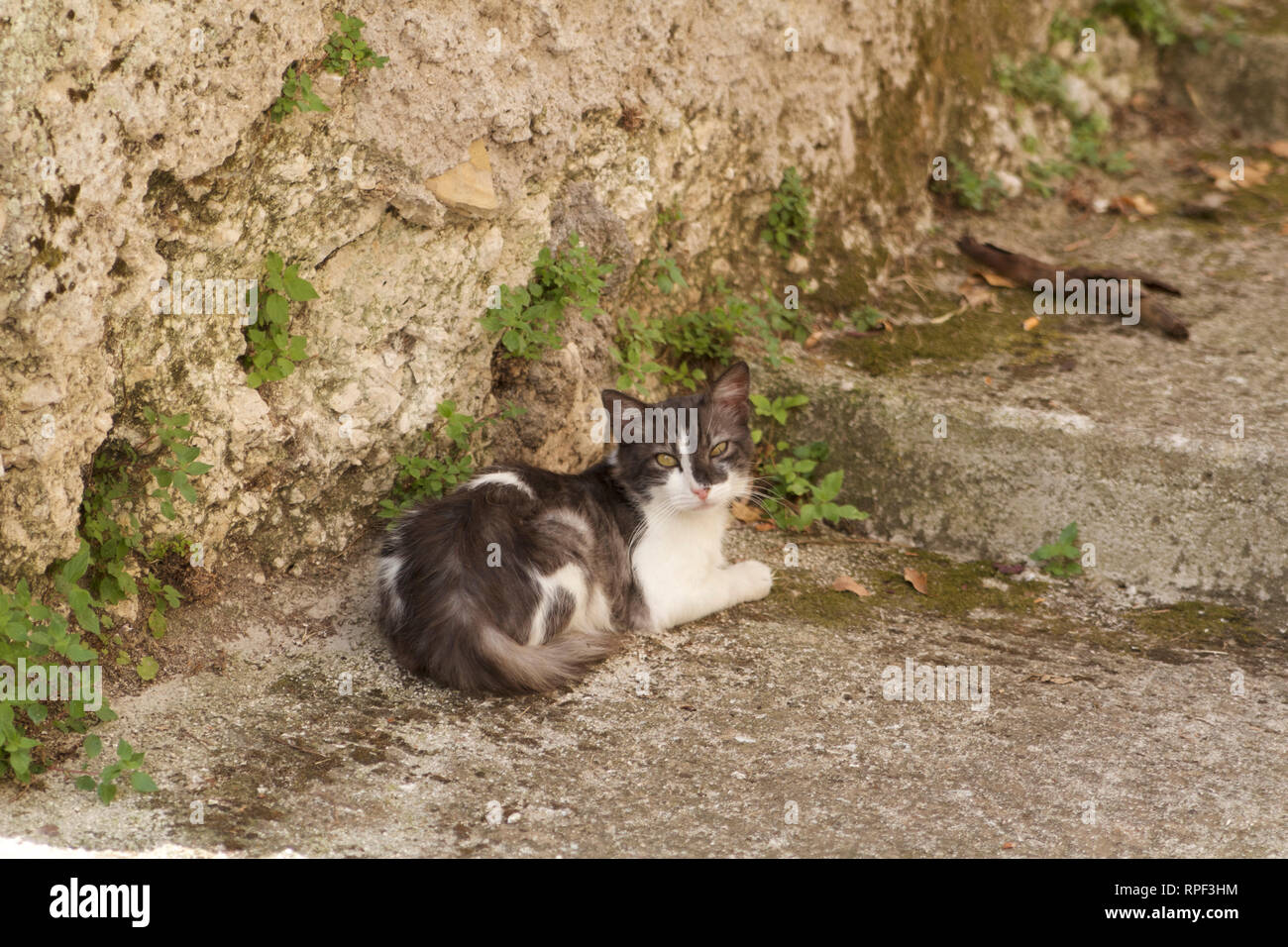 Alvito-Gray cat resting on the steps looking at the camera - Stock Image