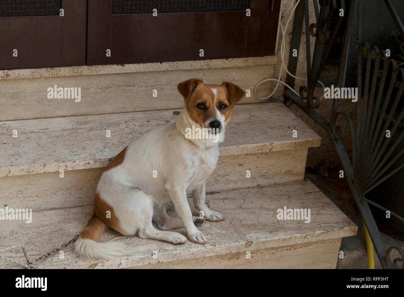 Alvito-Jack Russel Terrier dog sitting on the door step - Stock Image