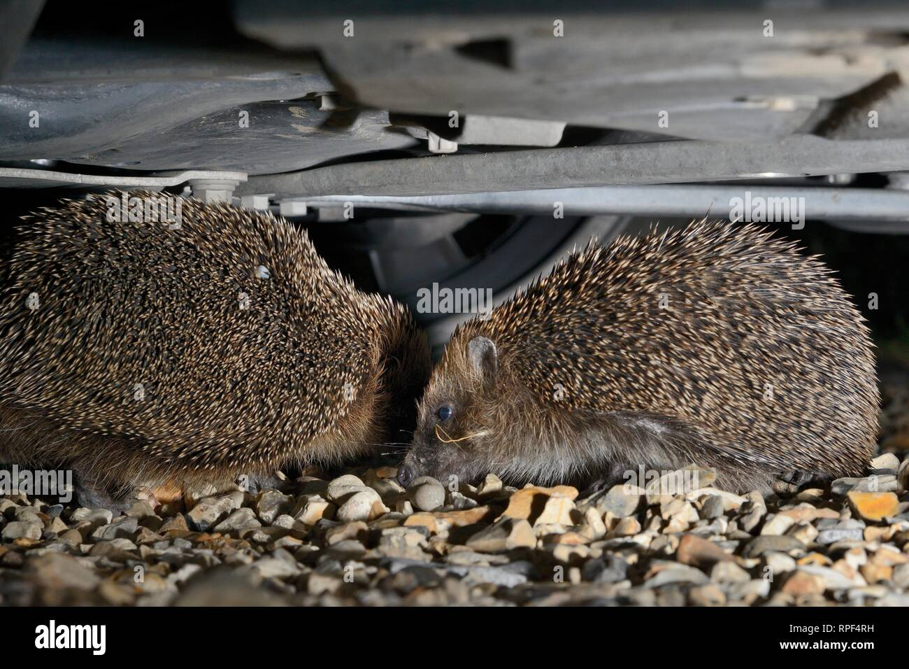 Hedgehog (Erinaceus europaeus) pair courting under a car on a gravel drive, with the male circling and nudging the female, Chippenham, Wiltshire, UK - Stock Image
