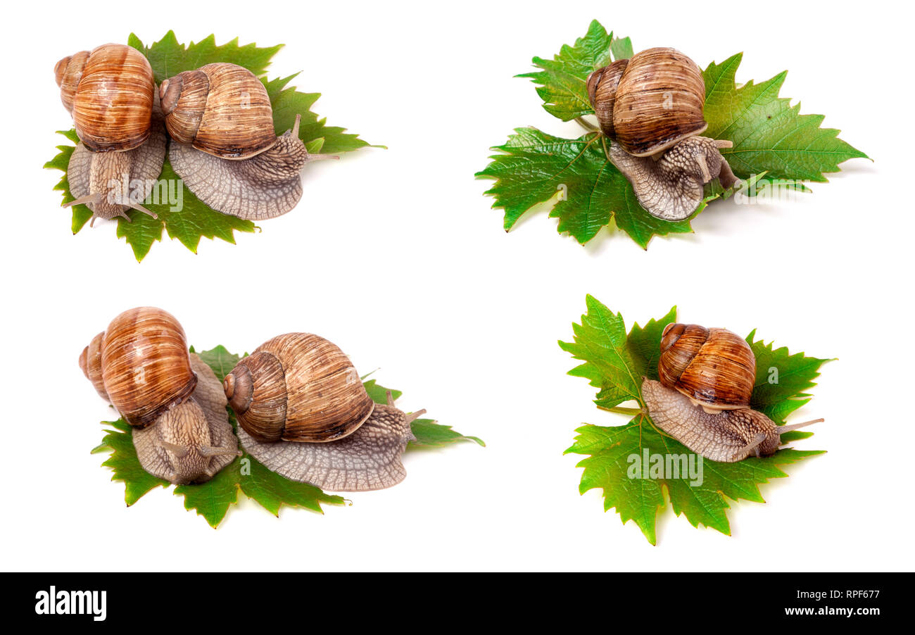 snails crawling on the grape leaves on white background close-up macro. Set or collection - Stock Image