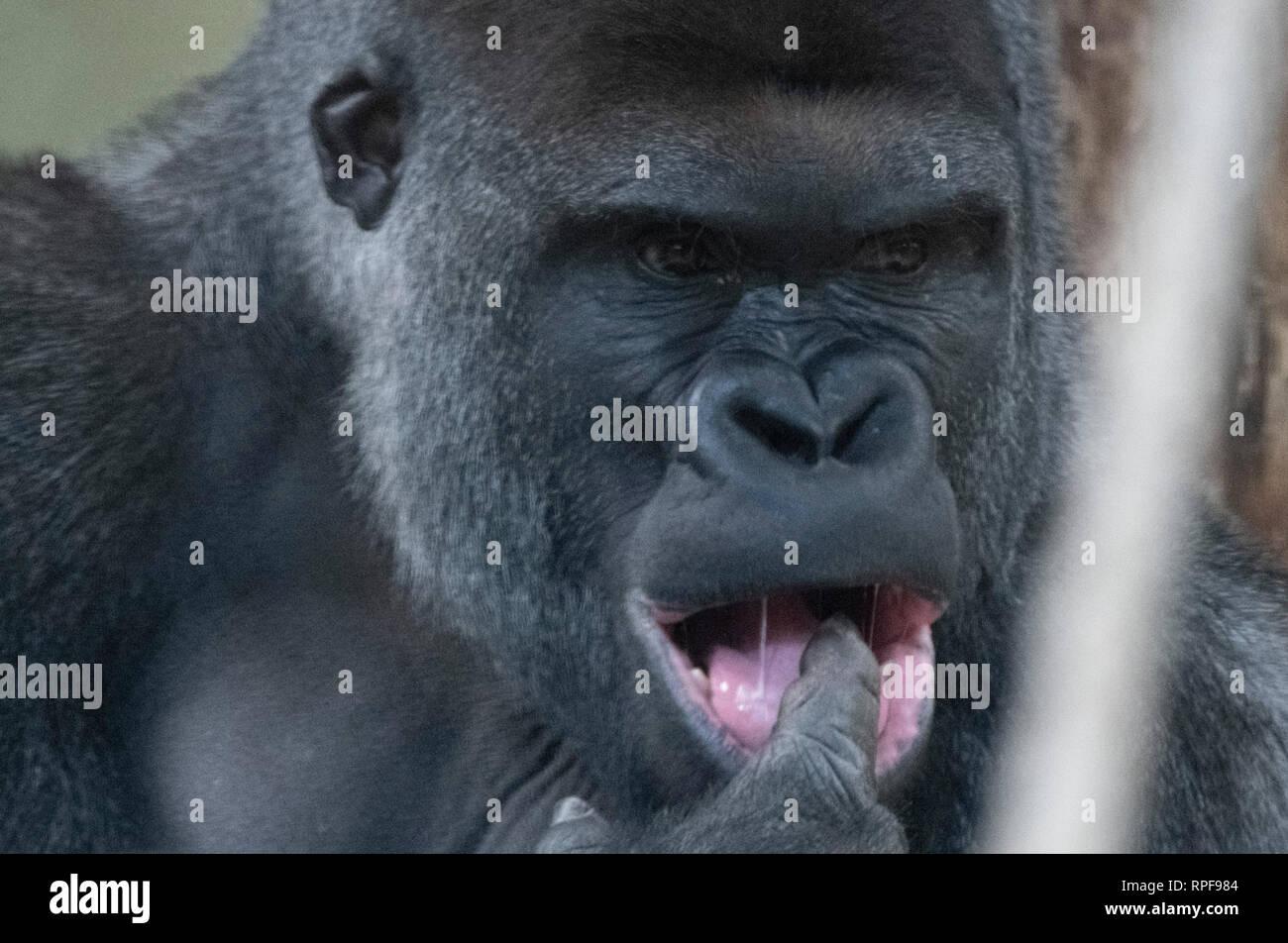 Berlin, Germany  17th Feb, 2019  The new gorilla man Sango