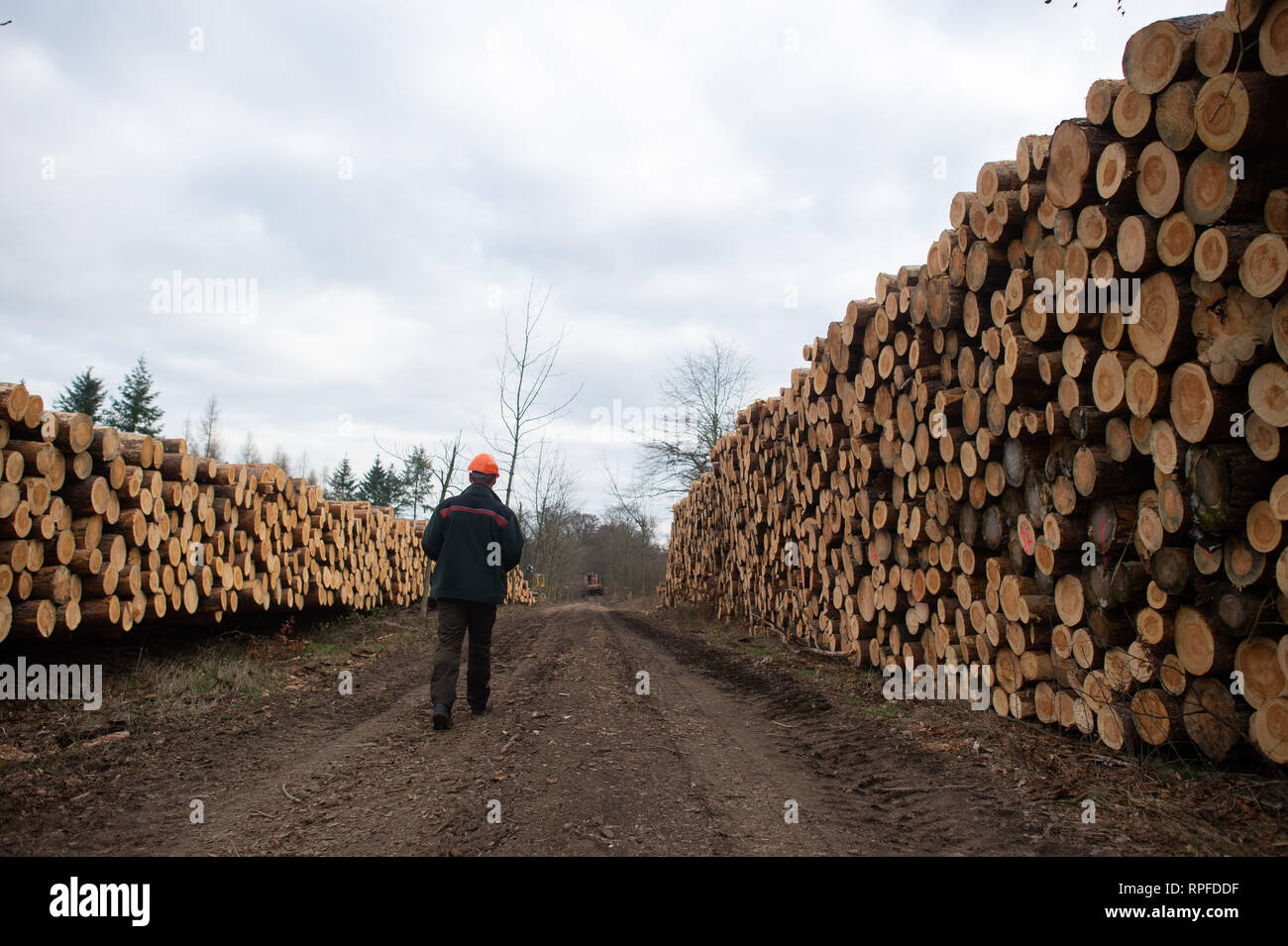 21 February 2019, Saxony-Anhalt, Flechtingen: Thomas Roßbach, head of the forestry department of the Landeszentrum Wald Sachsen-Anhalt, passes several metres high dams of conifers. The trees had been attacked by pests and thus weakened. At present, entire forest areas near Flechtingen are being cleared in order to counteract mass propagation of the pests. The foresters of the Landeszentrum Wald Sachsen-Anhalt attribute the damage to the coniferous forests to the drought in 2018. After the sick trees have been cleared, they are to be reforested with climate-resistant and site-suitable tree spec - Stock Image