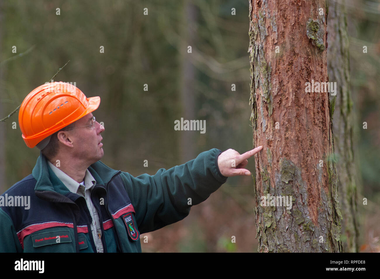 21 February 2019, Saxony-Anhalt, Flechtingen: Thomas Roßbach, head of the forestry office of the Landeszentrum Wald Sachsen-Anhalt, is investigating a larch which is infested by the larch bark beetle and whose bark has been damaged as a result. At present, sick conifers are being cleared near Flechtingen in order to counteract mass propagation of the pests. The foresters of the Landeszentrum Wald Sachsen-Anhalt attribute the damage to the coniferous forests to the drought in 2018. After the sick trees have been cleared, they are to be reforested with climate-resistant and site-suitable tree sp - Stock Image