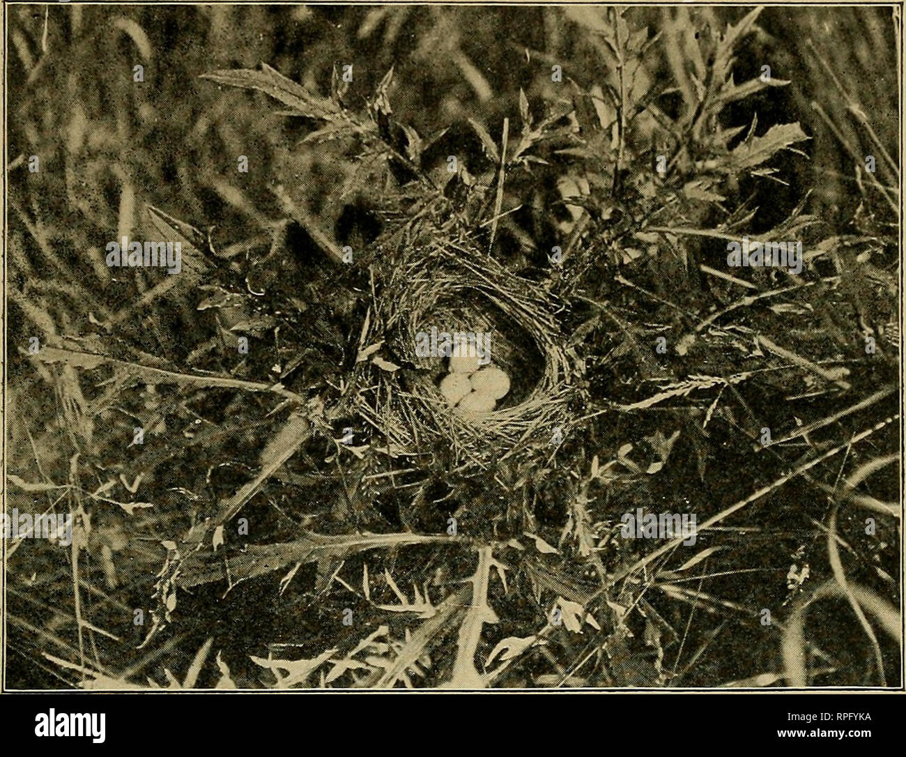 ". American bird magazine, ornithology. Birds. AMERICAN ORNITHOLOGY. 137. Photo by G. M. Hathorne. NEST AND EGGS OF BLACK THROATED BUNTING. on a nest of the Black-throated Bunting. It was built in a thistle that stood some twenty odd feet from the brook and contained four eggs. The female was nowhere in sight at the time, but the male sat upon an old fence post some distance away, chanting his unmusical notes which can best be expressed by ""chink-chink-chee, chee, chee,"" the first two notes rather slower and pitched somewhat lower than the following. Although I have heard the notes of - Stock Image"