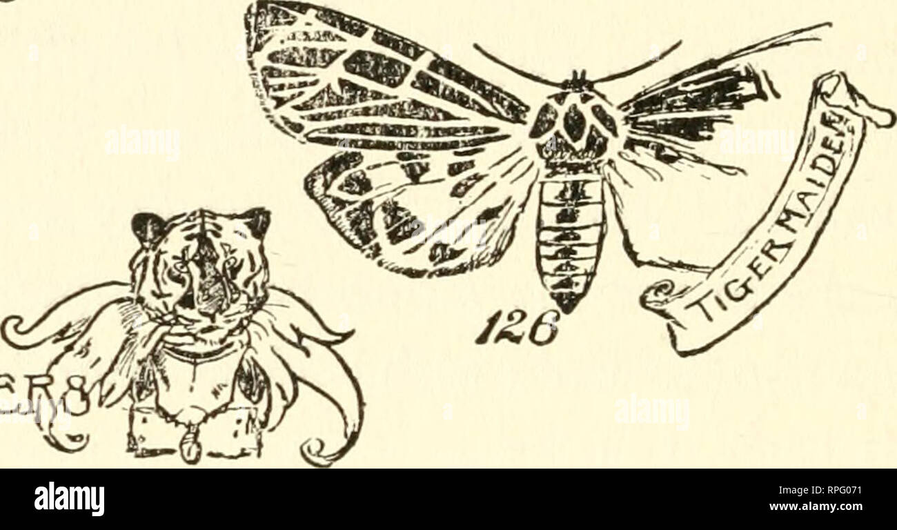 . The American boys' book of bugs, butterflies and beetles. Insects. 130 Bugs, Butterflies, and Beetles cracks in the winter ice, some at right angles to each other (Fig. 126) and some diagonally rumiing across the wing.. TIG^R MILLE. THE CLYMEME TIGER MIIJ-ER This miller can he easily recognized hy the two dusky spots on its lower wings and the oddly- shaped dark borders to its upper wings, the wings. Please note that these images are extracted from scanned page images that may have been digitally enhanced for readability - coloration and appearance of these illustrations may not perfectly re Stock Photo