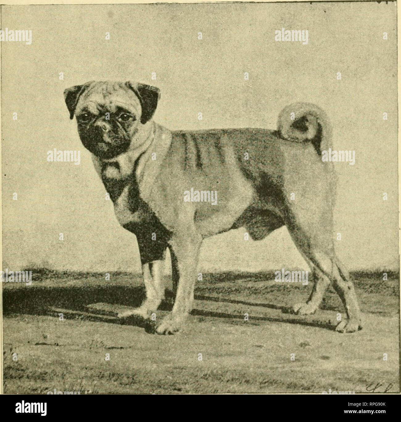 . The American book of the dog. The origin, development, special characteristics, utility, breeding, training, points of judging, diseases, and kennel management of all breeds of dogs. Dogs. THE PUG. 641 one of nature's most important laws. Strains are onl}' jjroperly sustained in tlieir purity by breeding to the best stock that can be had. In selecting a sire, never breed to a long-legged one; limit his weight to fifteen pounds, if possil)le. It is much easier to find a o-ood laru'p Pnix than a good small oiip.. Bred by Dr CHAMPION DUDE. M. H. Cryer, 1527 Arch street, Philadelphia, Penn. The  Stock Photo