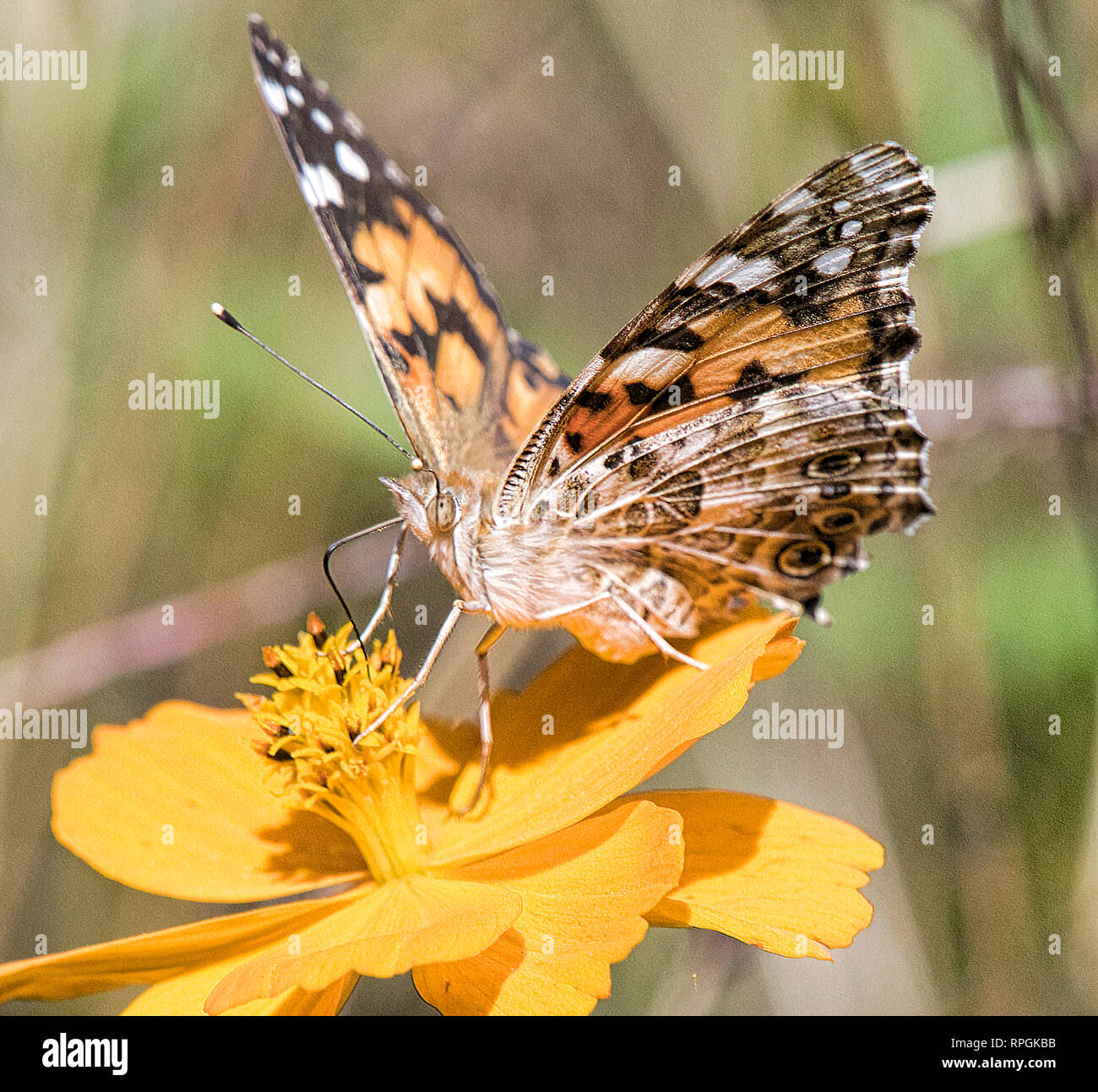 Painted Lady Butterfly, Cosmos Flower Stock Photo