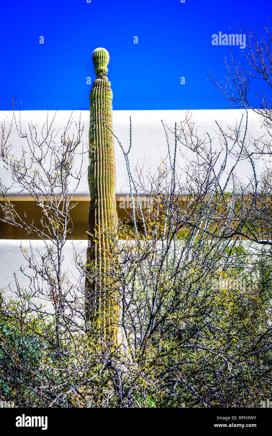 A singular sagaurao Cactus stands tall before the modern building of the Arizona-Sonora Desert Museum in Tucson, AZ, USA - Stock Image