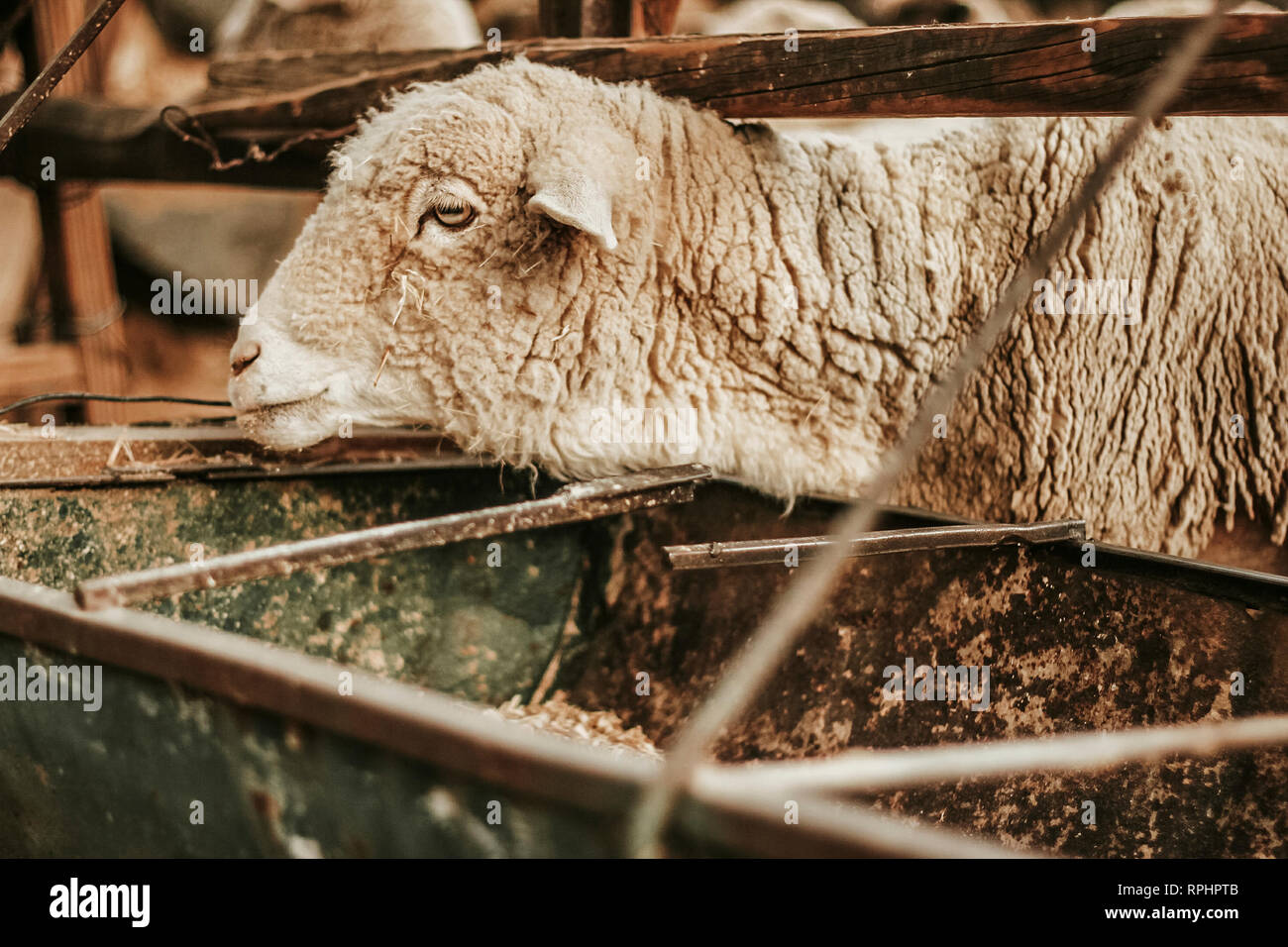 sheep in a mexican farm - Stock Image