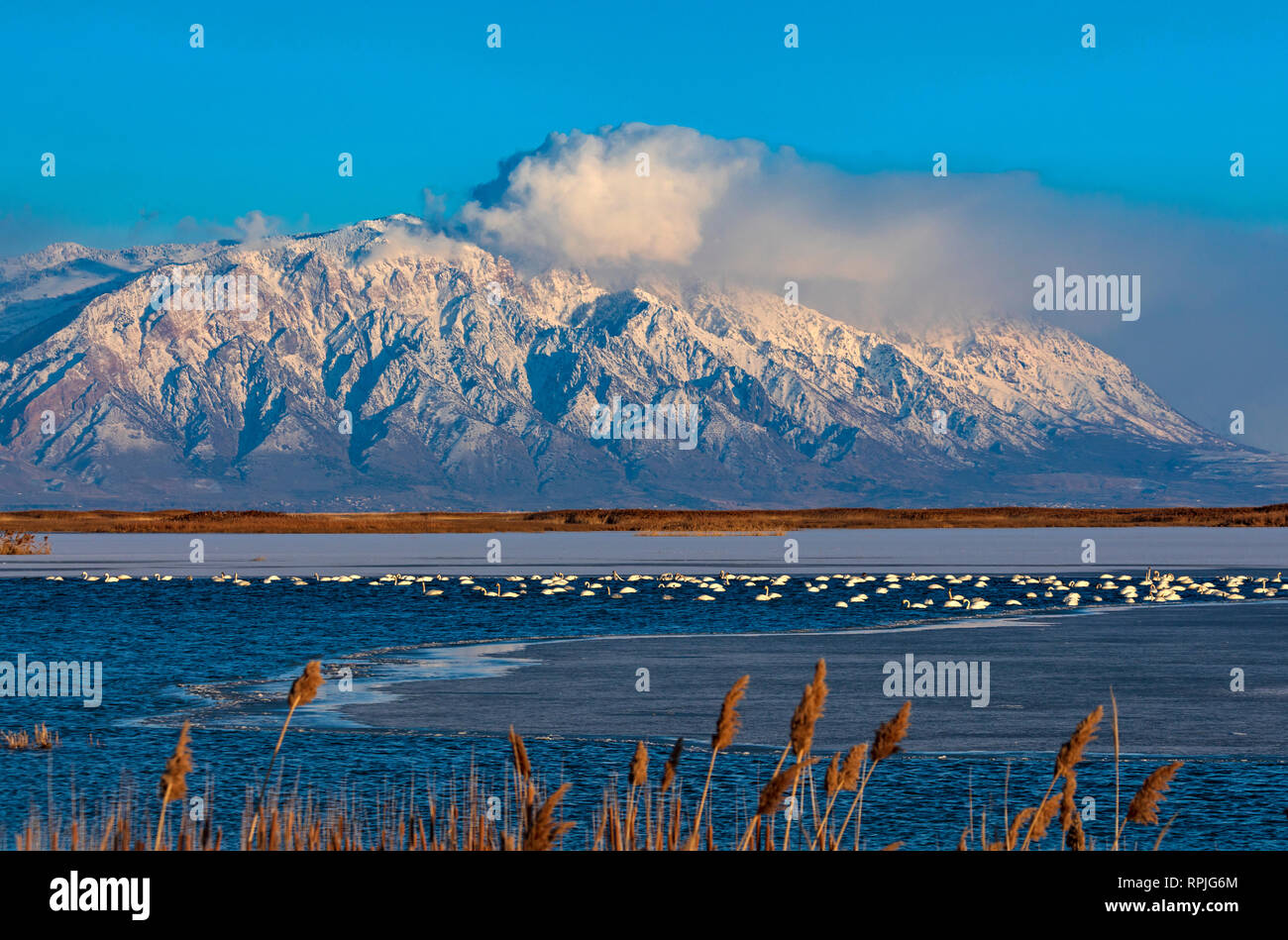 In this shot Tundra Swans (Cygnus columbianus) rest and feed on a patch of open water at Bear River Migratory Bird Refuge in northern Utah, USA. - Stock Image