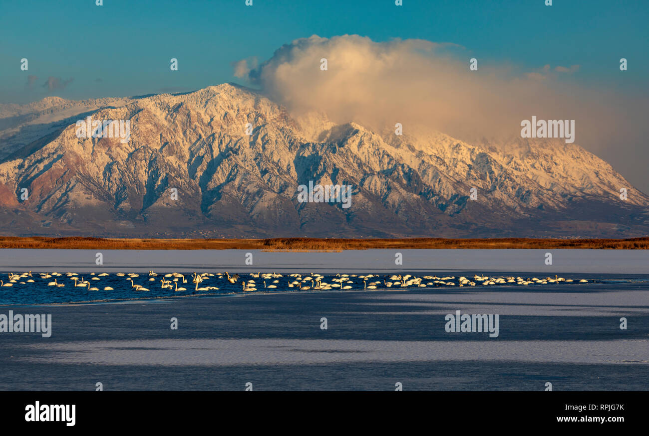 In this shot Tundra Swans (Cygnus columbianus) rest and feed on a patch of open water at Bear River Migratory Bird Refuge in northern Utah - Stock Image