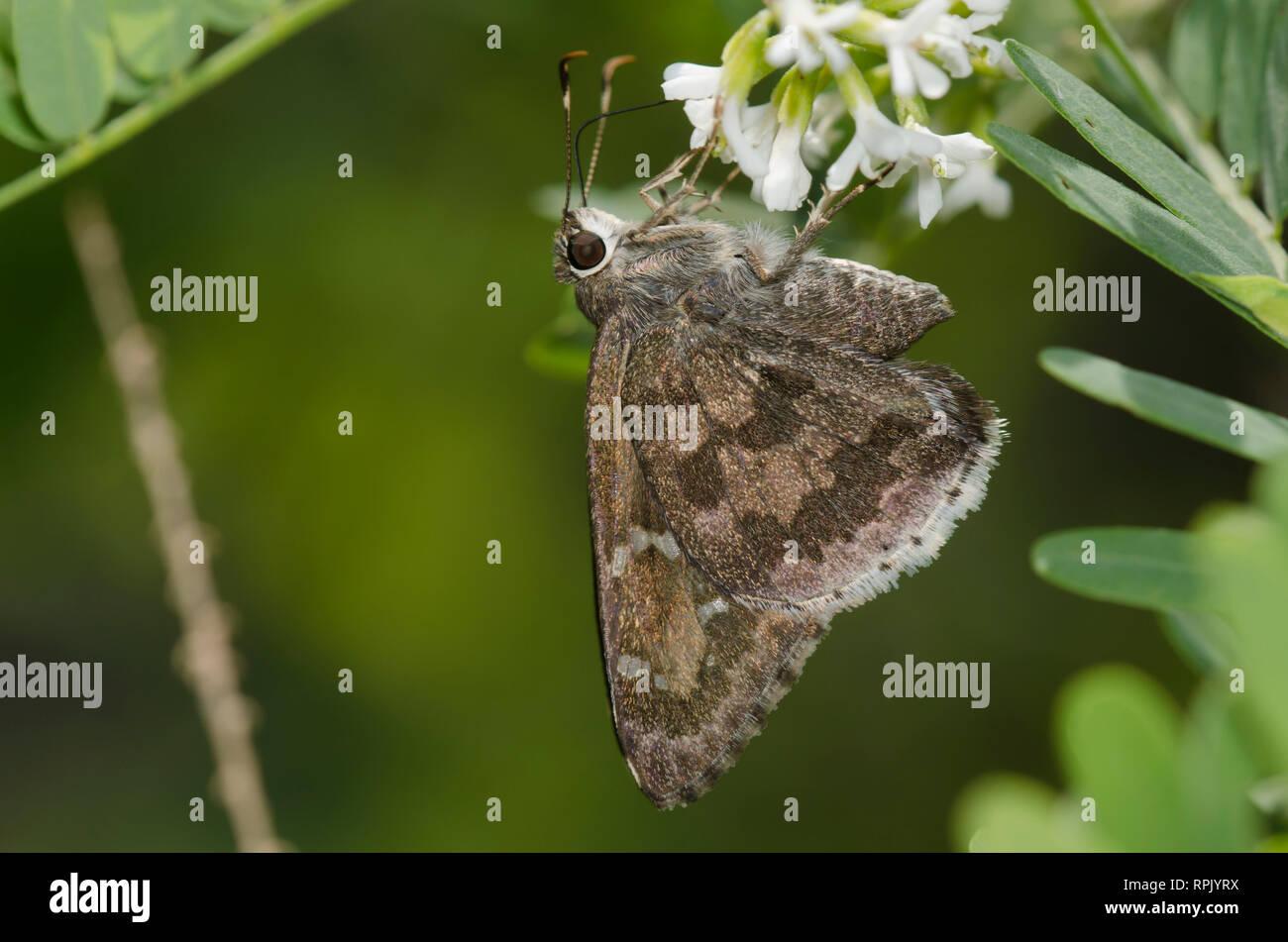 Acacia Skipper, Cogia hippalus, nectaring - Stock Image