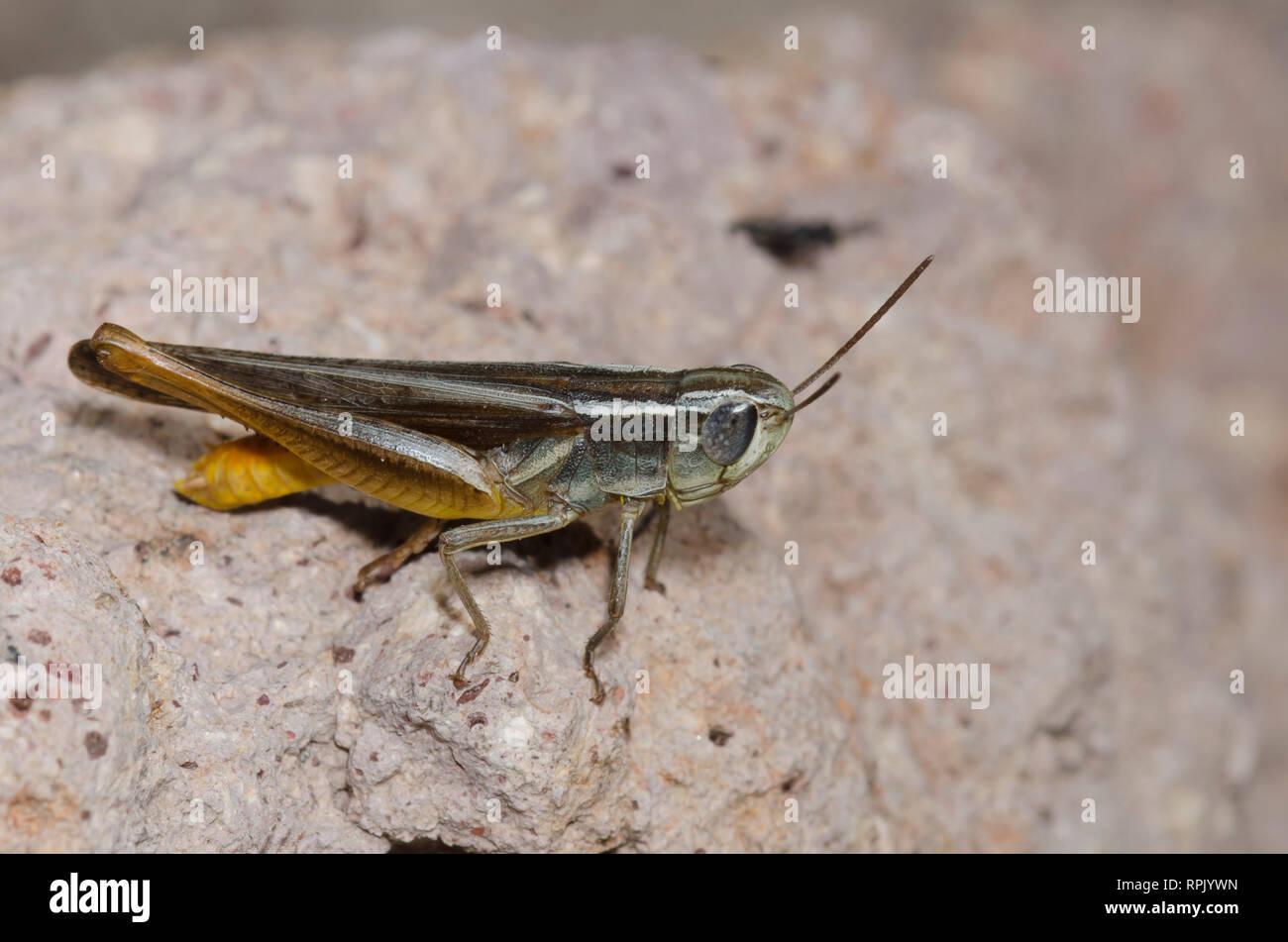 Brown Winter Grasshopper, Amblytropidia mysteca, male - Stock Image