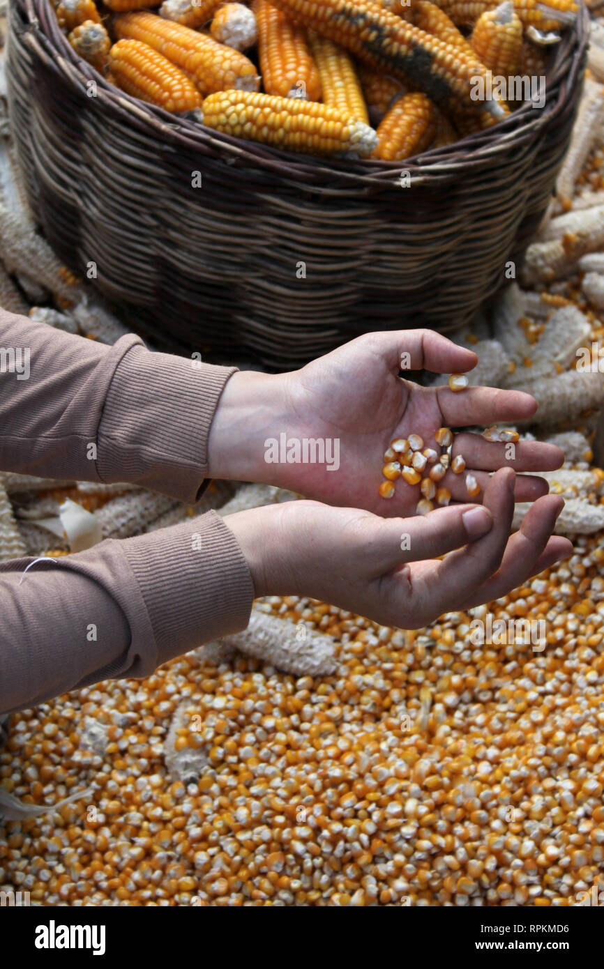 Corn - Stock Image