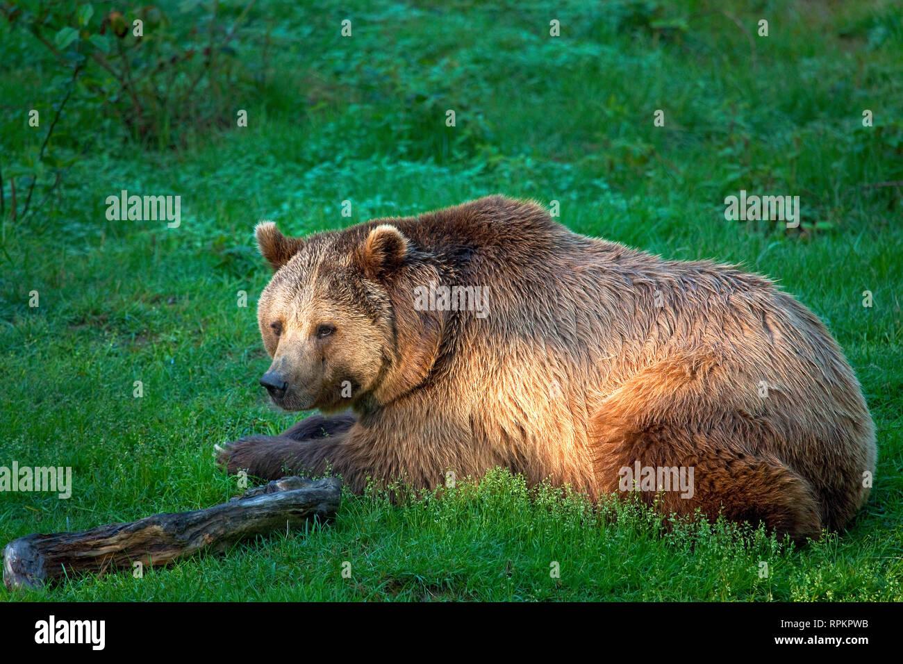 zoology / animals, mammal / mammalian, bear, European brown bear (Ursus arctos), Neuschoenau, National, Additional-Rights-Clearance-Info-Not-Available Stock Photo