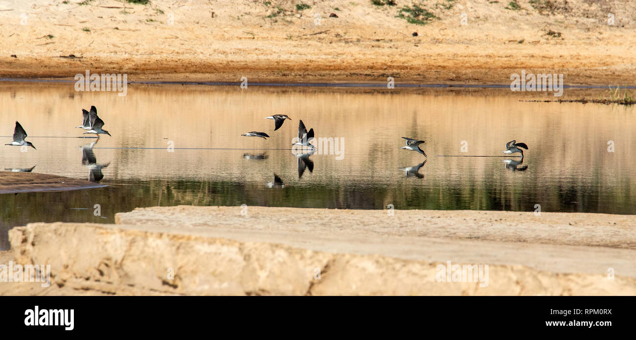 A flock of African Skimmers (Rynchops flavirostris), a species of concern, skimming the Zambezi. - Stock Image