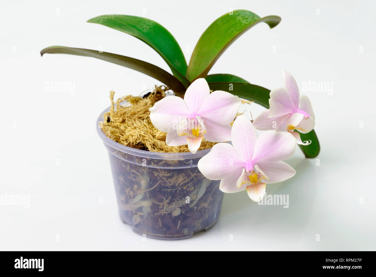 Flower Pot With A Mini Pink Orchid With Polka Dot Pattern On The