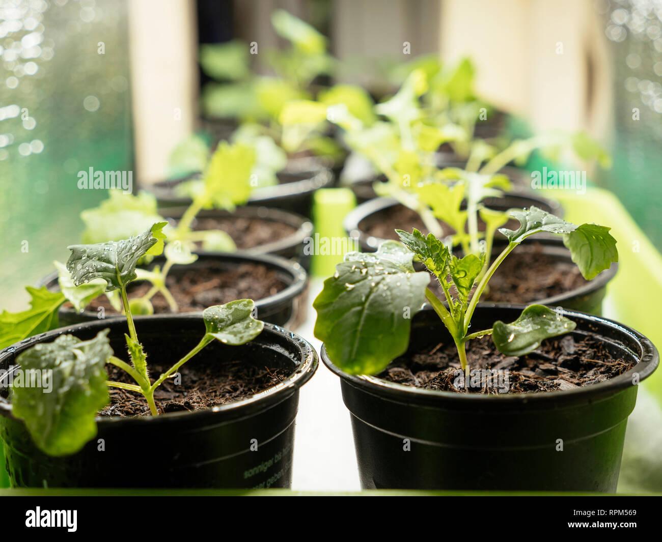 Namenia (Brassica rapa L. var. rapa) and Siberian kale (Brassica napus var. pabularia) seedlings growing inside under a grow light. Stock Photo
