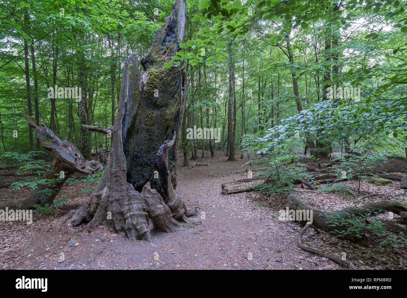 Märchenwald Alte märchenhafte Bäume im Urwald Sababurg - Stock Image