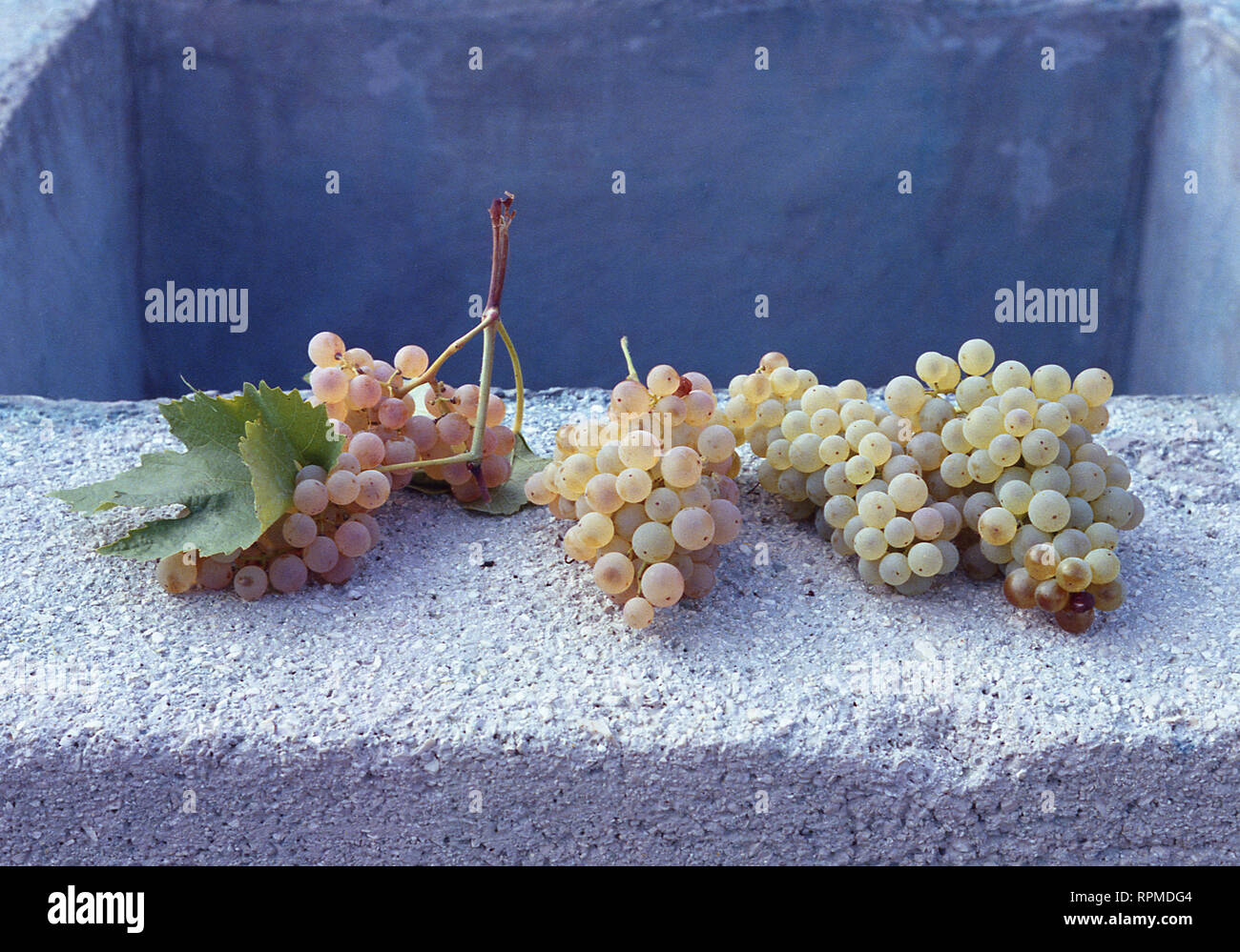 Trebbiano grapes on edge of concrete well in Southern Italy - Stock Image