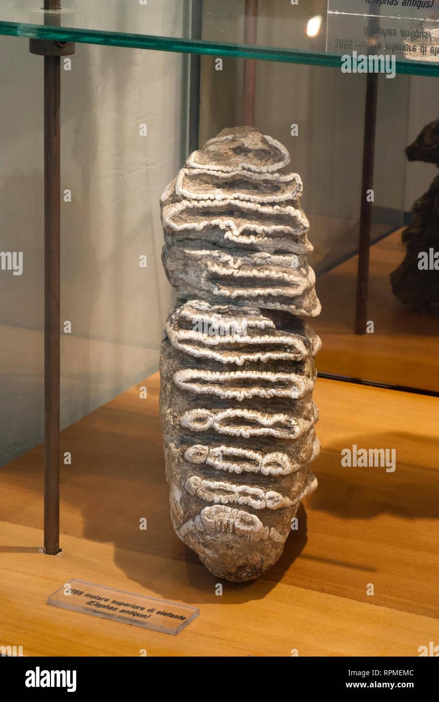 Molar tooth of Elephas (Palaeoloxodon) Antiquus, Prehistoric Museum of Pofi, Lazio, Italy - Stock Image