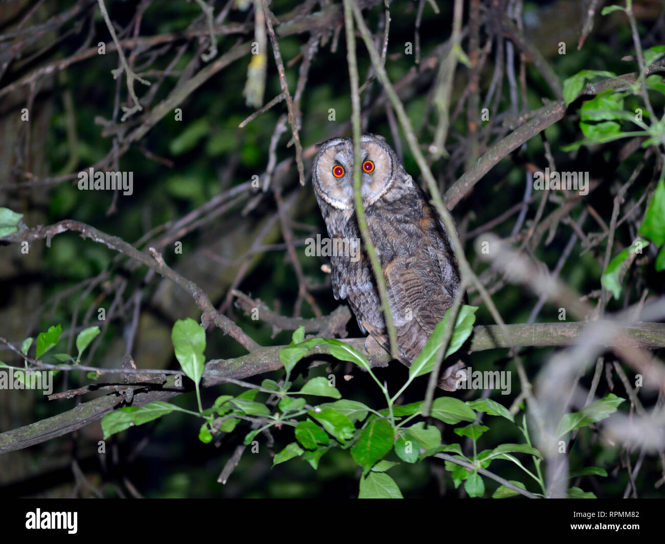 Long-eared owl hiding in the branches of a tree - Stock Image