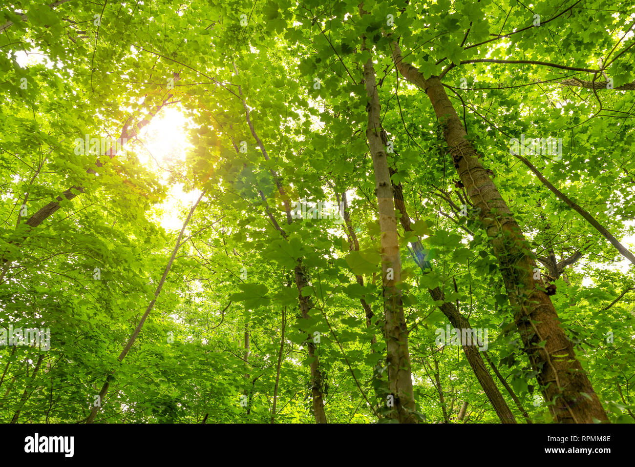 Inside the woods, looking upward - Stock Image