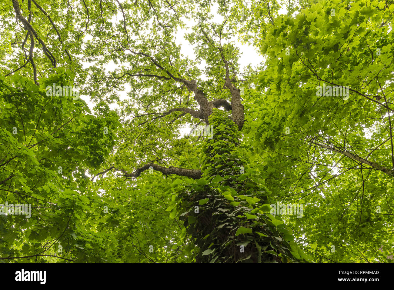 Tree covered by climbing plant inside the woods, looking upward - Stock Image