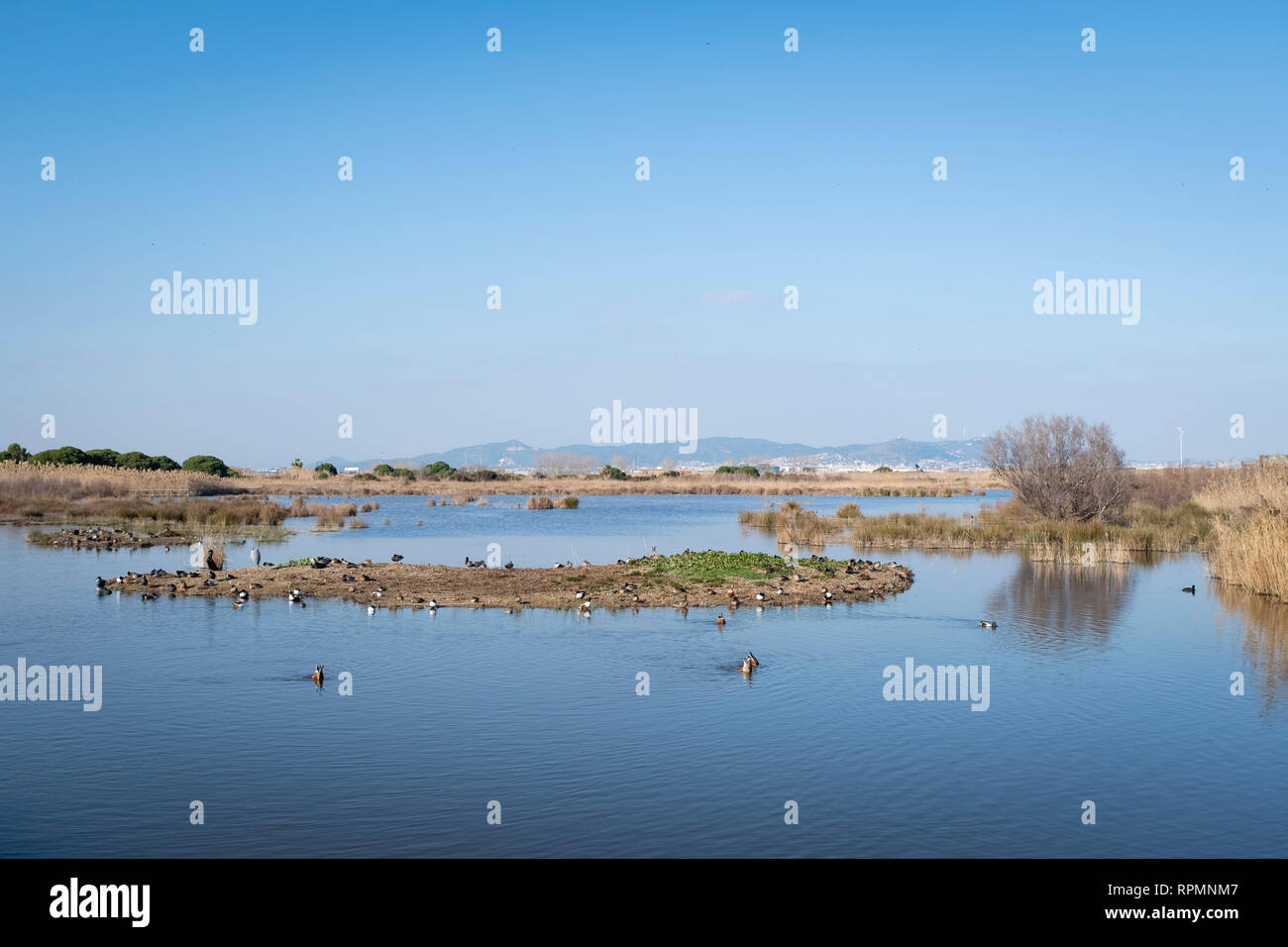 Mixed wintering flock of ducks and other species. Natural Area of Remolar-Filipinas. Barcelona province. Catalonia. Spain. - Stock Image