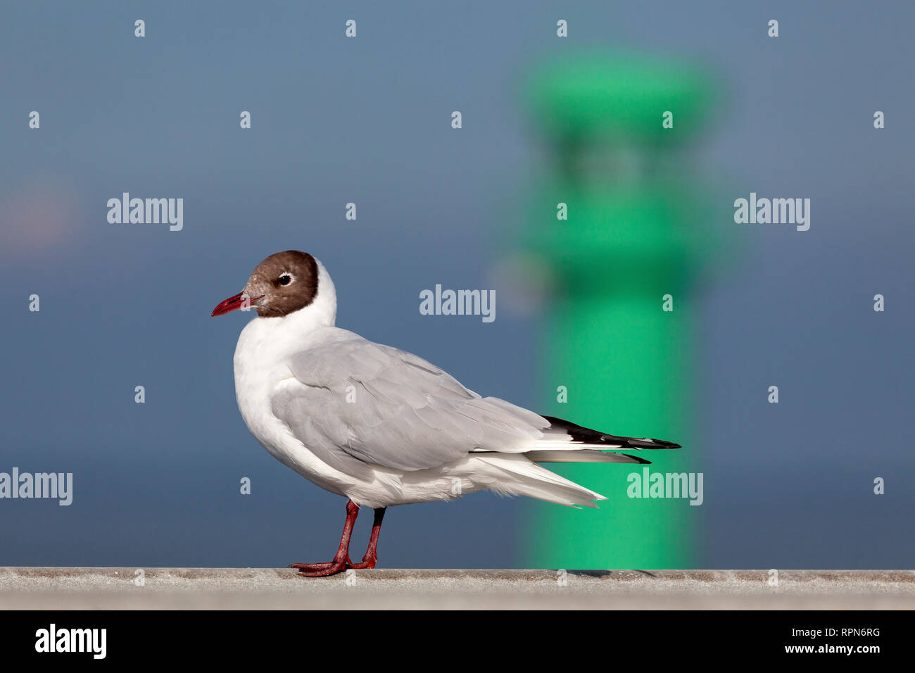zoology / animals, bird / avian, Black-headed Gull (Chroicocephalus ridibundus), in front of a beacon,, Additional-Rights-Clearance-Info-Not-Available Stock Photo