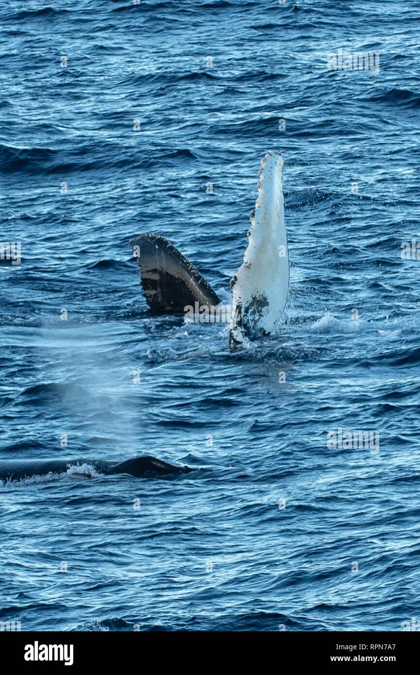 Humpback Whale Flipper off South Georgia - Stock Image