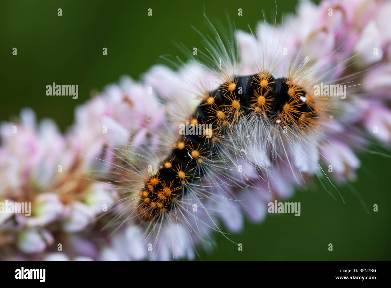 zoology / animals, insects, Scarce Dagger (Acronicta Auricoma), caterpillar on European bistort, Upper, Additional-Rights-Clearance-Info-Not-Available - Stock Image