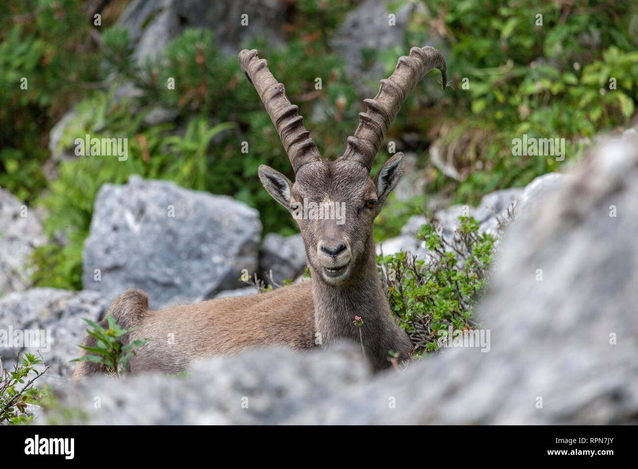 Zoology    Animals  Mammal    Mammalian  Goats  Capra
