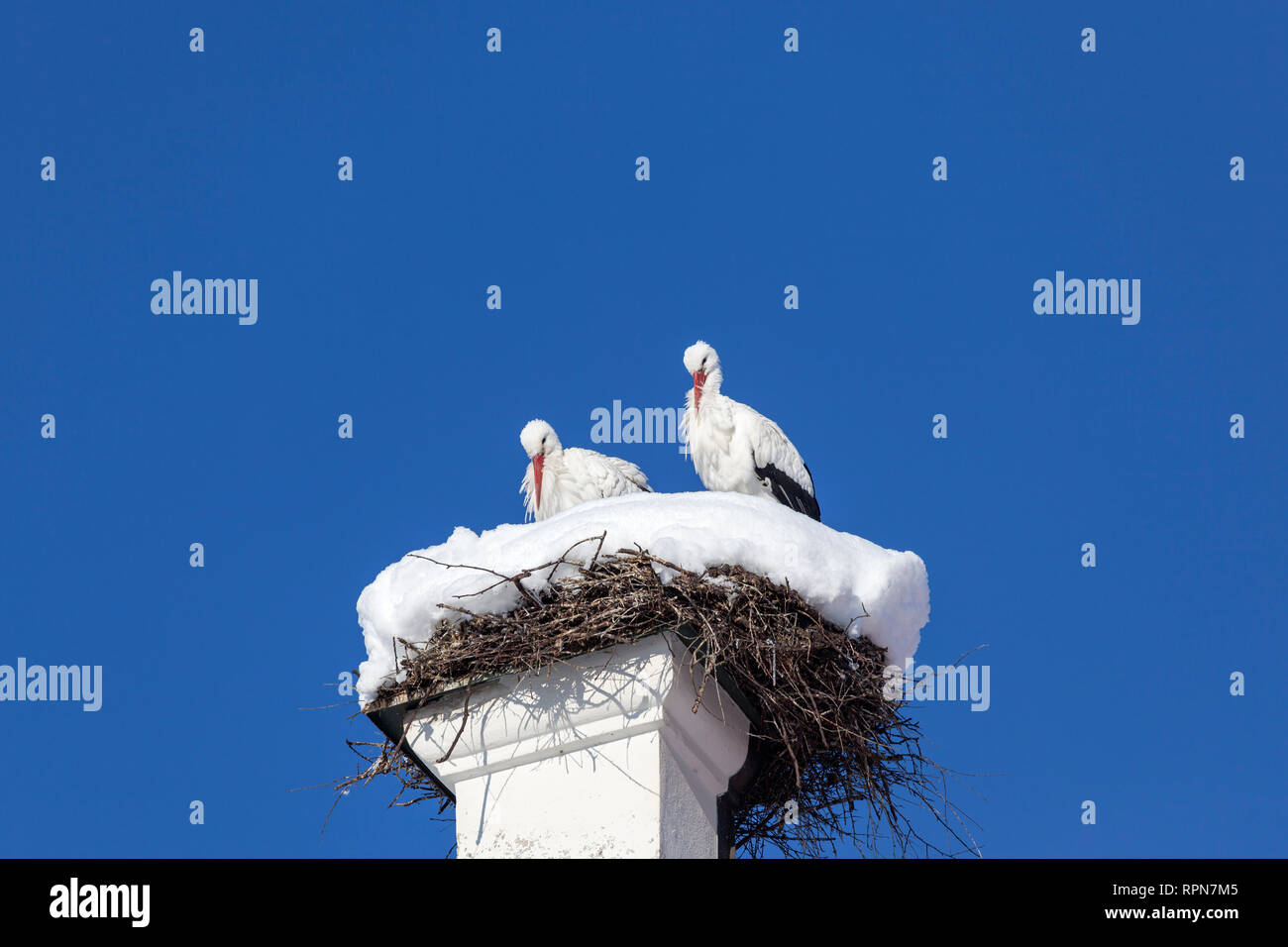zoology / animals, avian / bird, storks, White Stork, (Ciconia ciconia), stork couple, in bird's nest,, Additional-Rights-Clearance-Info-Not-Available - Stock Image